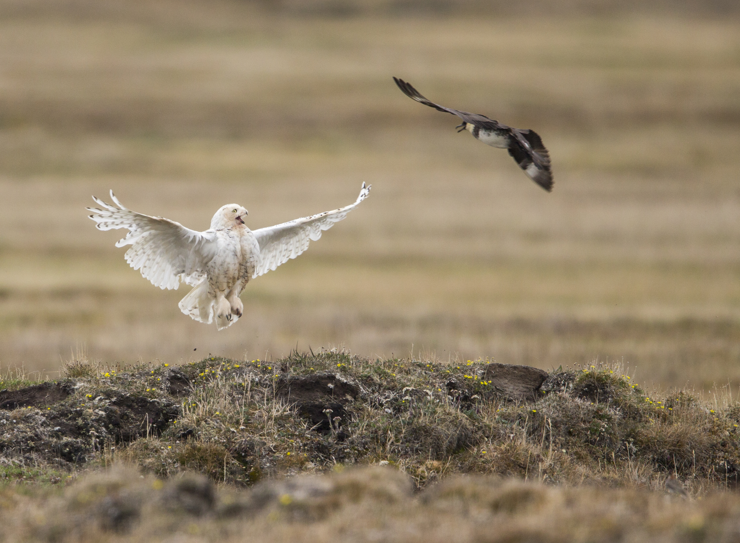 A pomarine jaeger attacks a snowy owl near her nest on the arctic tundra. 2016 Mountaineers Books, Braided River Imprint (Paul Bannick) ONE TIME RIGHTS