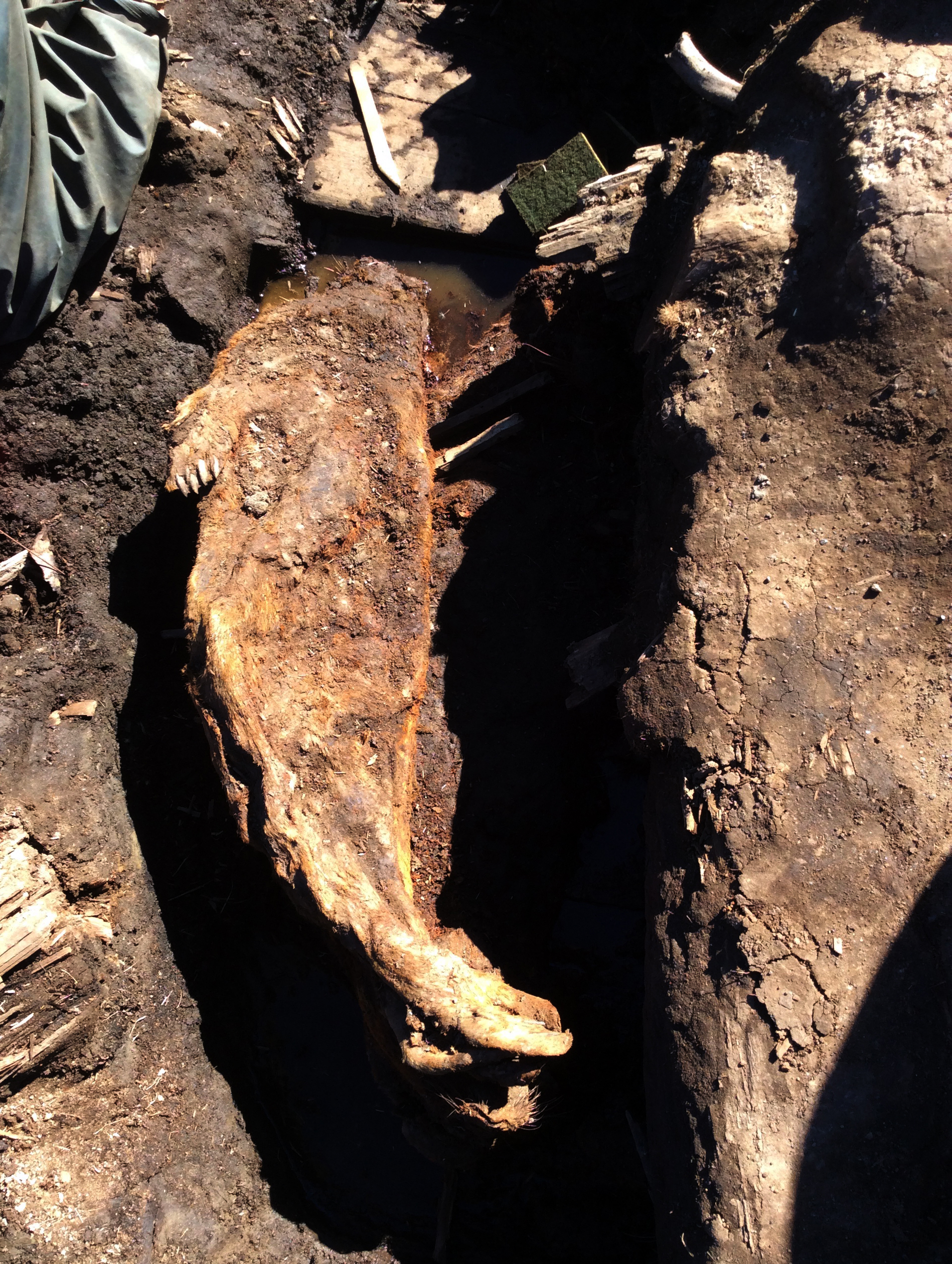 """A mummified seal dubbed """"Patou"""" emerges during excavations at an eroding bluff at the Walakpa site southwest of Utqiaġvik last summer. The seal dates back to only the mid-1940s. Still, it and three other seals found in an old ice cellar amounted to a startling find: They are the only mummified seals ever discovered outside of Antarctica's Dry Valley, said Anne Jensen, an Utqiagvik-based archaeologist. The retrieved seal is fully recognizable, with its fur and claws still intact. """"It's essentially freeze-dried,"""" she said. (UIC Science)"""