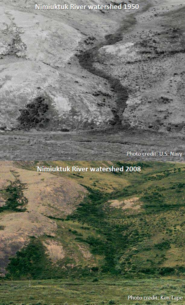 Example of long-term increase of shrubs in Arctic ecosystems. Photographs of the Nimiuktuk River watershed in 1950 and 2008. (Ken Tape / University of Alaska Fairbanks)