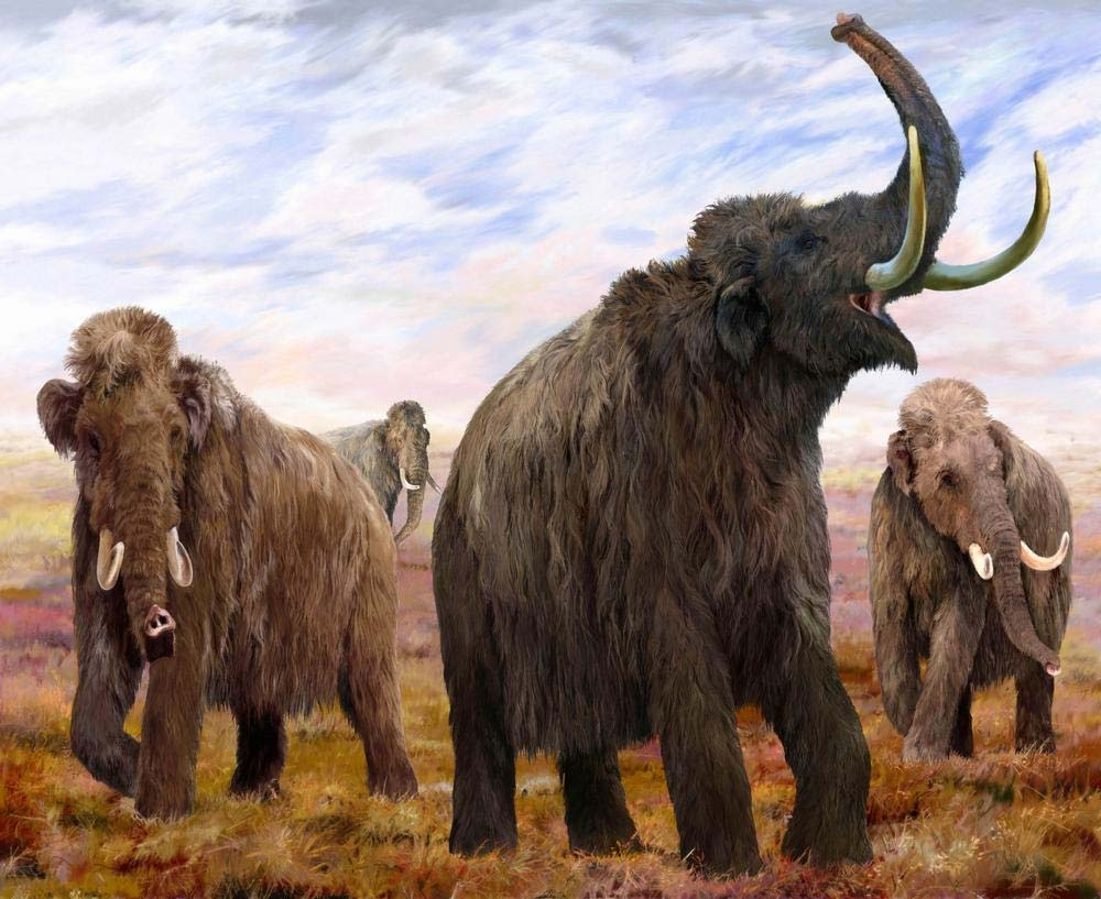 This illustration shows four female woolly mammoths in their herd. Fossil records indicate herds consisted of adult females and young calves. When males reached adulthood, they left the herd. CREATOR VELIZAR SIMEONOVSKI / The Field Museum, courtesy Anchorage Museum