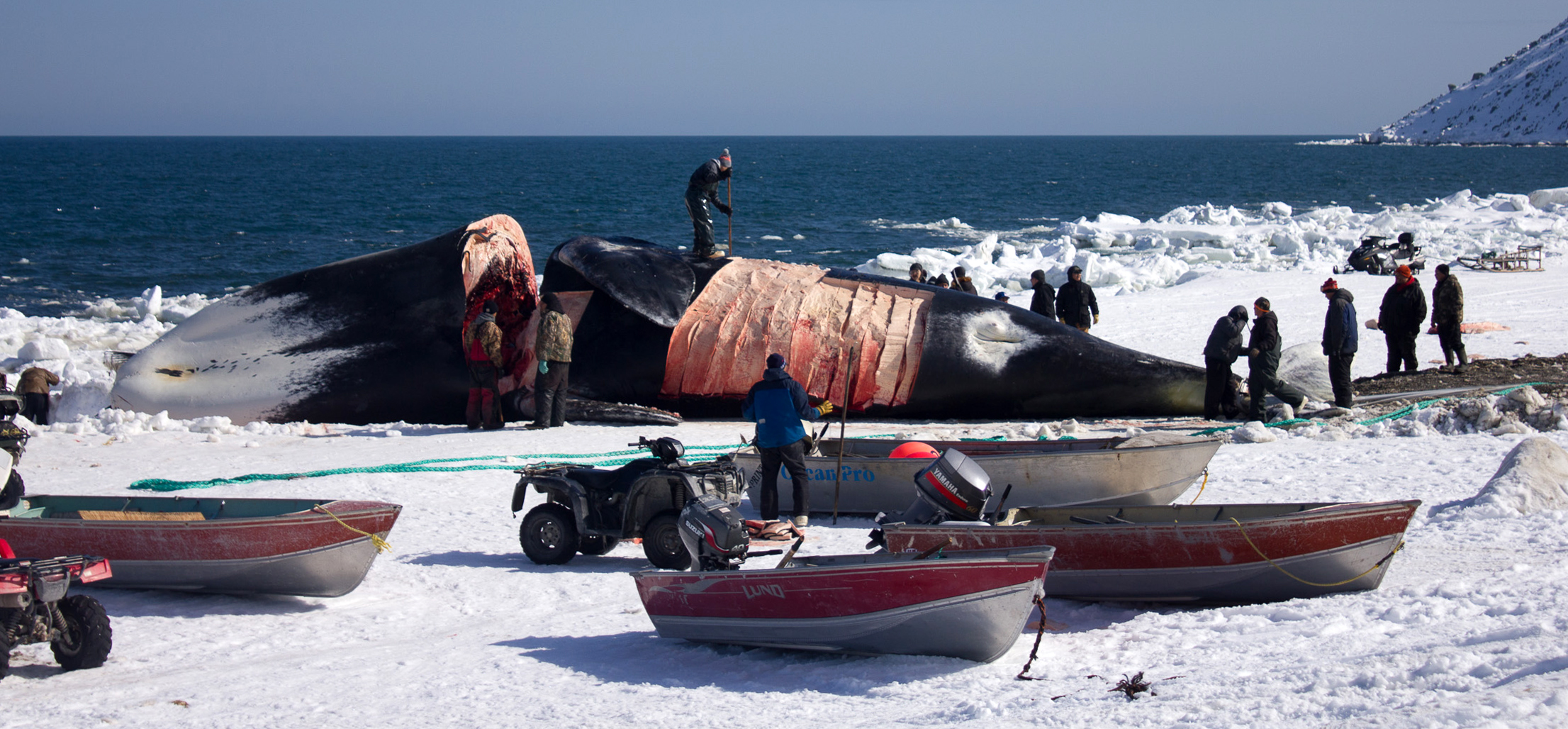 This 200-year-old female bowhead whale was caught off Gambell by 16-year-old Chris Apassingok. (Karen Trop / KNOM)