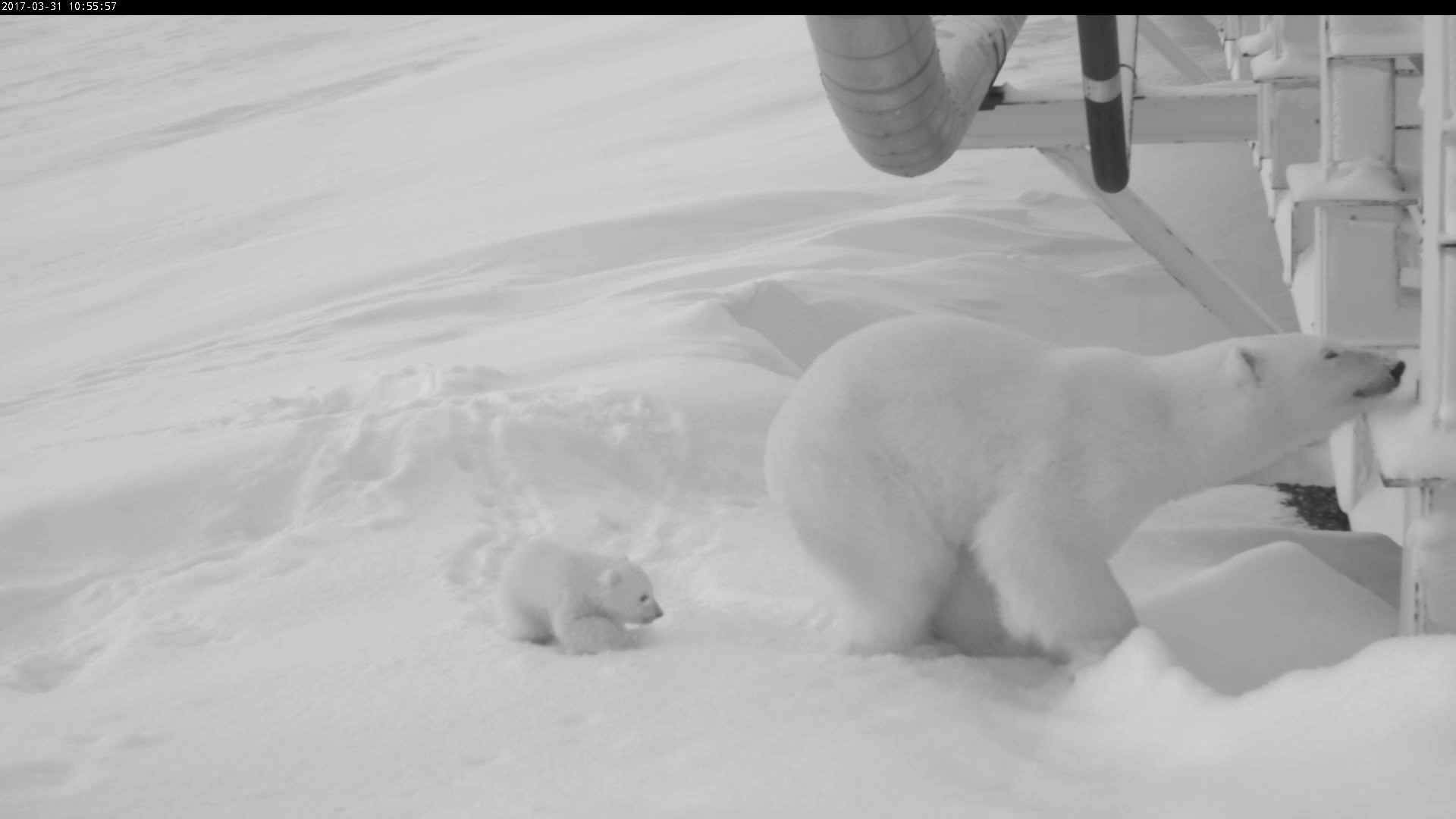 A monitoring camera produced a series of photos of the polar bear mother and her new cub exploring their surroundings near the bridge on the Endicott Road in Prudhoe Bay. (USFWS)