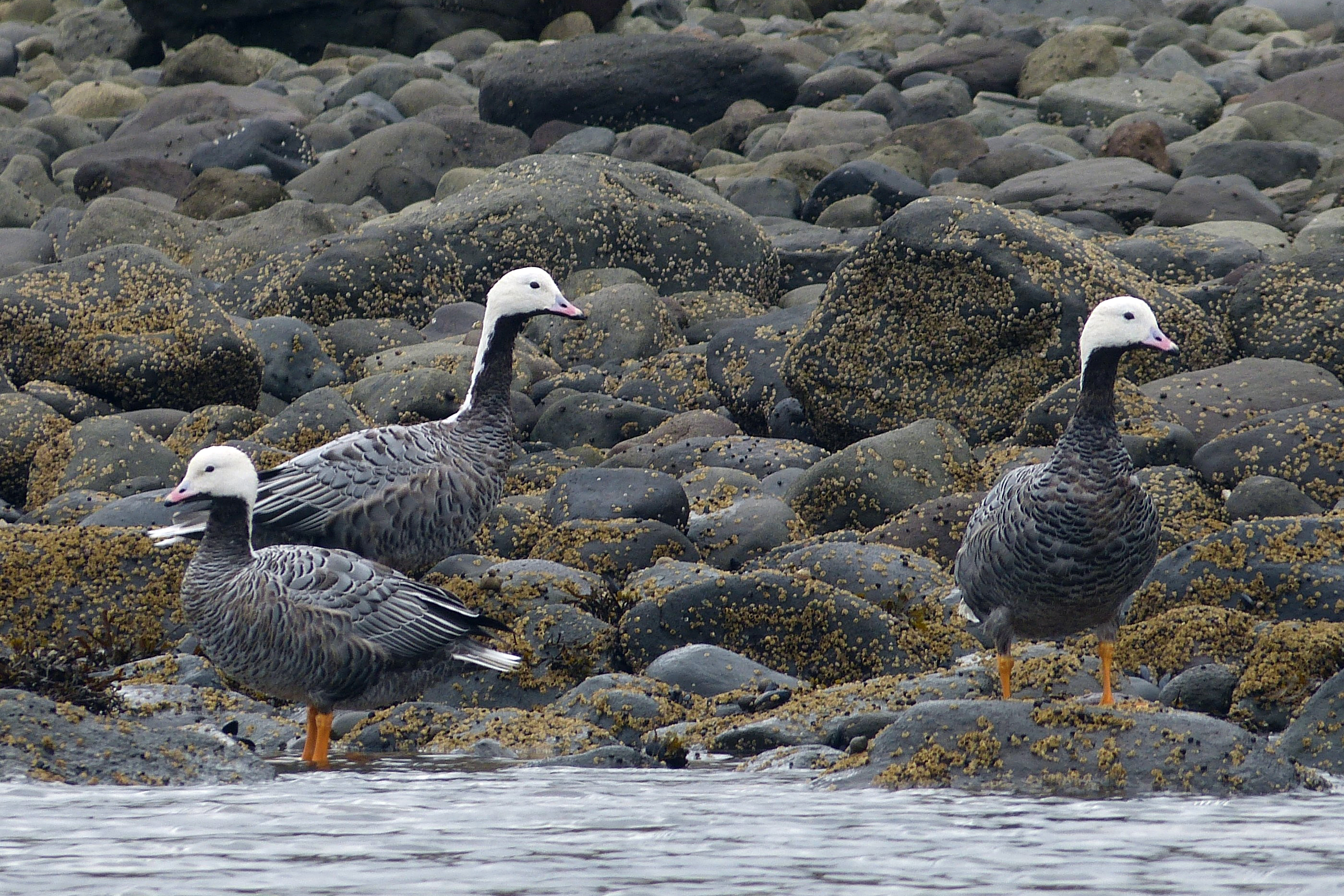Emperor geese visit the Izembek National Wildlife Refuge in September of 2016. (Kristine Sowl / USFWS)