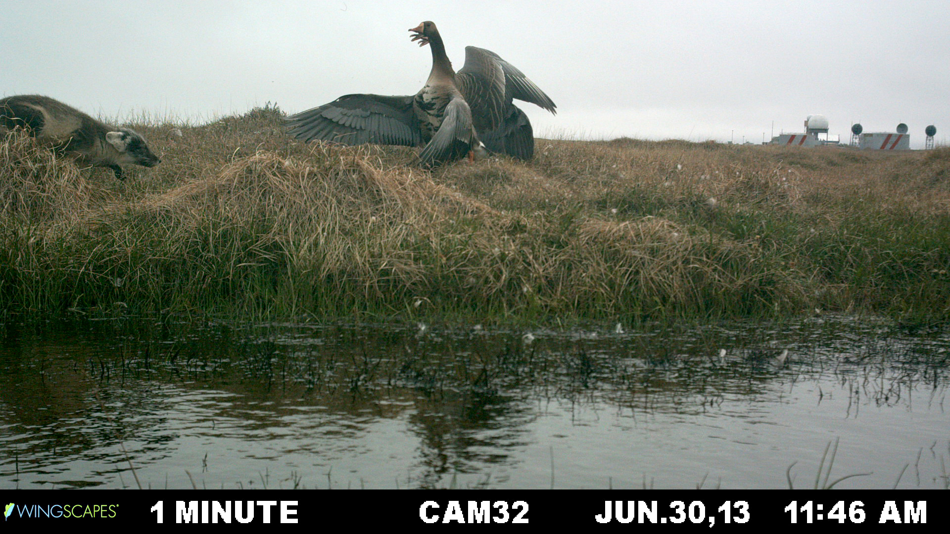 Geese at Lonely Point/Camp Lonely were documented automatically by installed cameras over 2013-14. Their nesting behaviors and interactions with other animals were captured. This fox received a big defensive reaction. (Brandt Meixell / USGS)