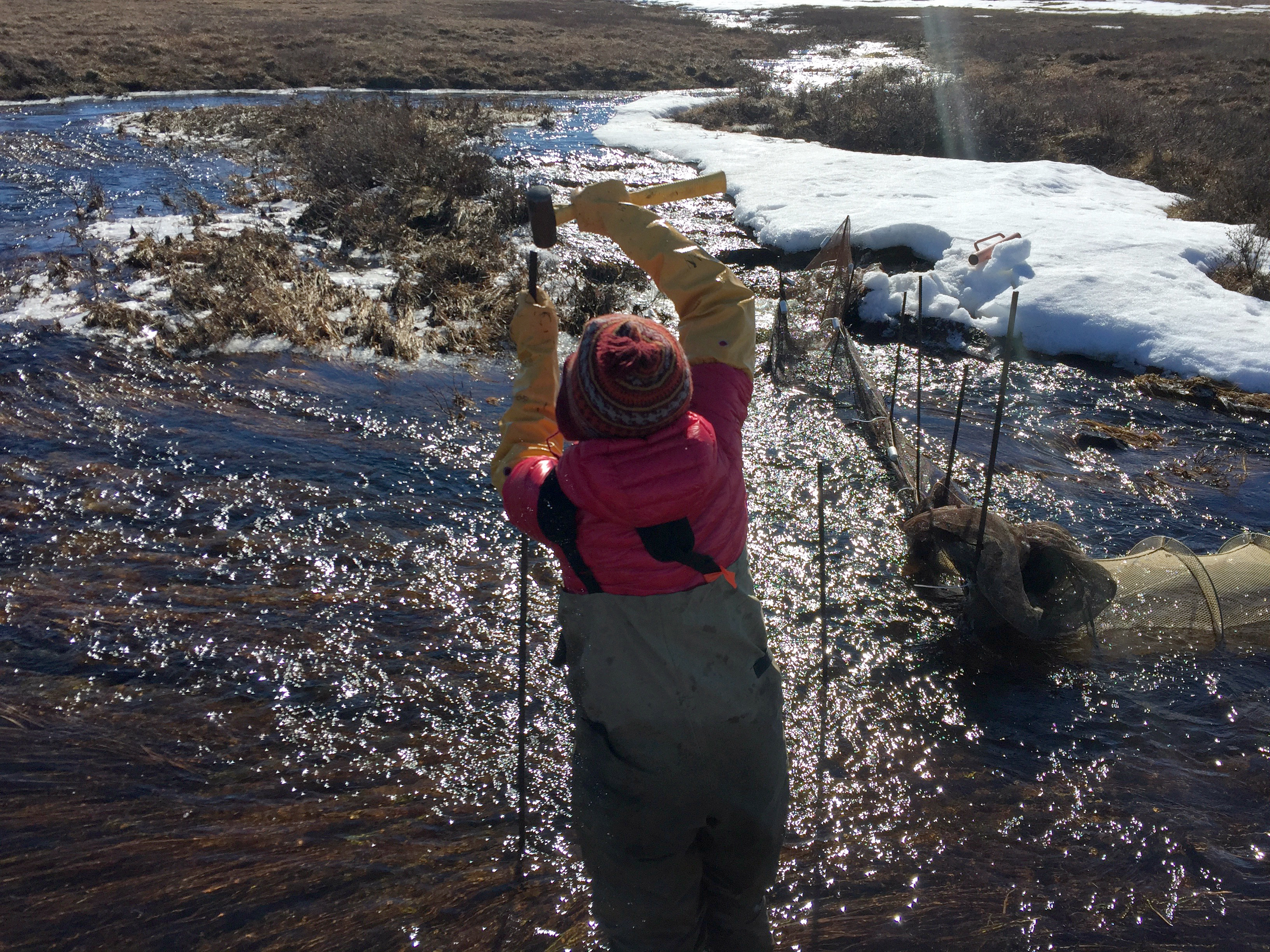 Heidi Golden works in the Oksrukuyik Creek in the spring of 2017, where she sets up traps to catch Arctic grayling. (Robbie Score)