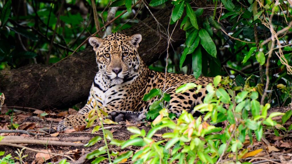 El yaguareté es un felino autóctono de las regiones sudamericanas (Shutterstock)