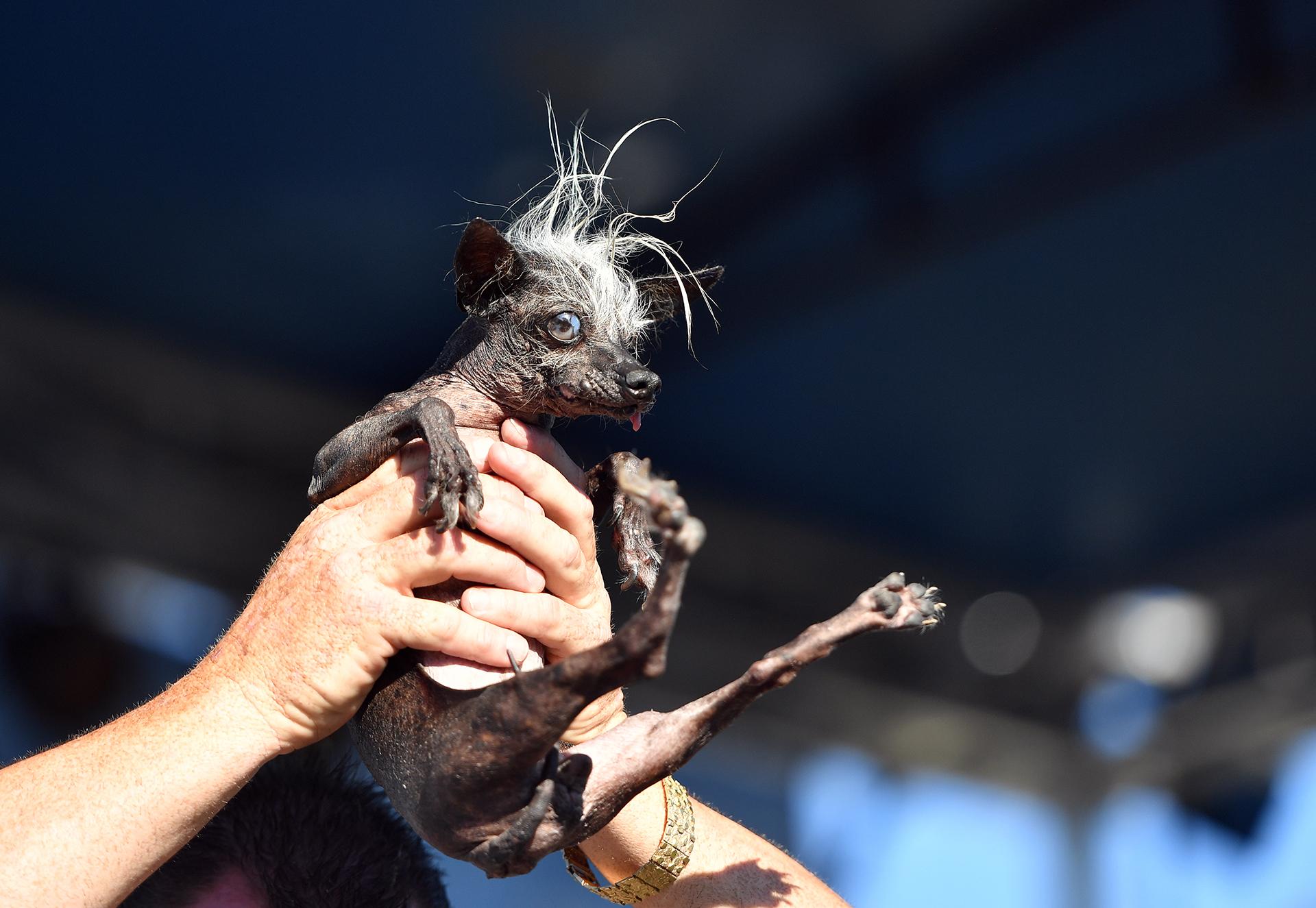 El evento, que celebra a los perros y sus imperfecciones, se lleva a cabo en California, EE.UU cada año (AFP)