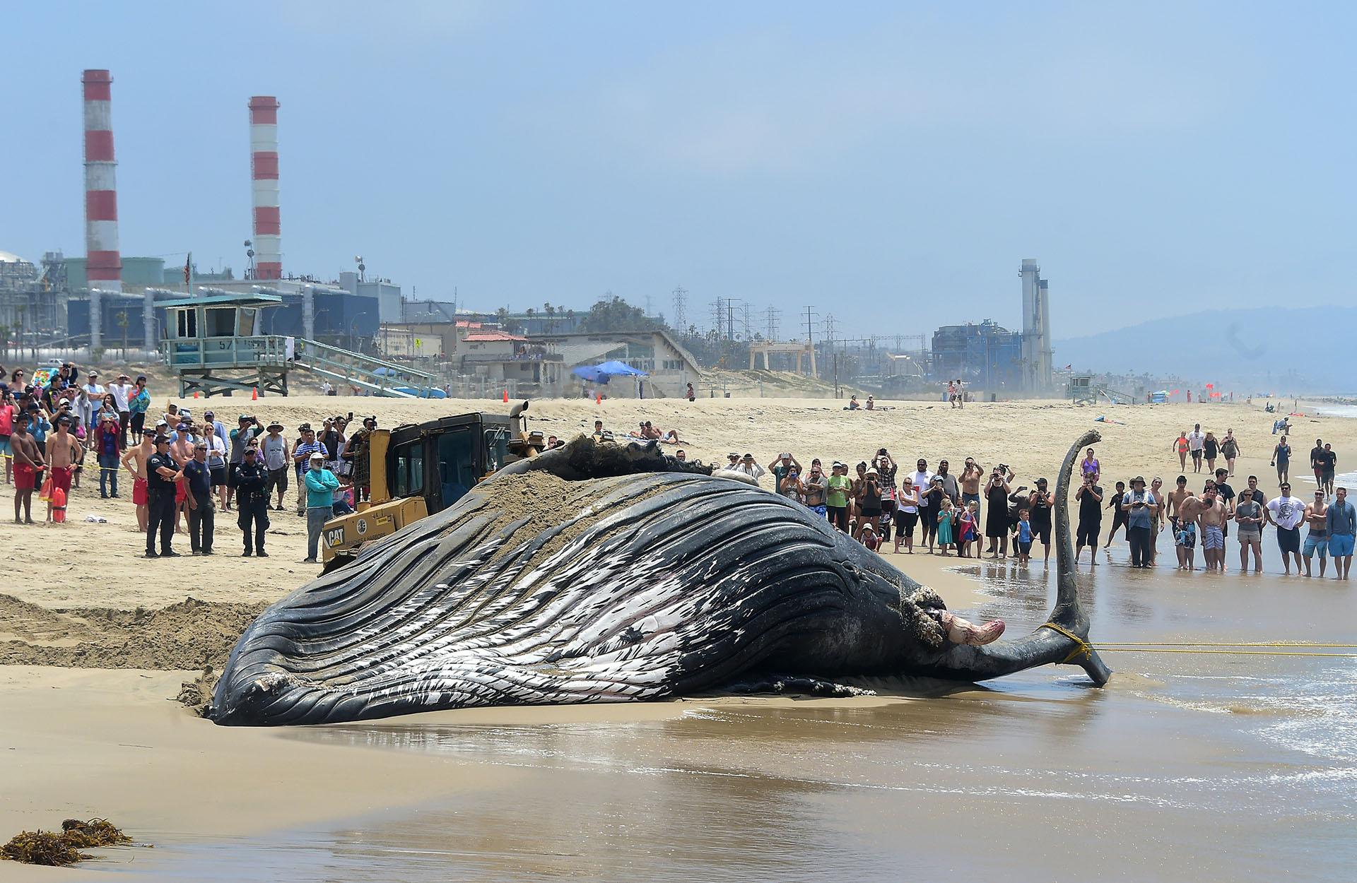 Una ballena jorobada murió después de pasar más de nueve horas encallada en una playa de California (AFP)