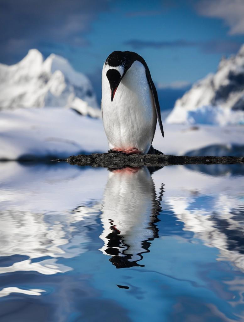 Esta especie de pingüino viene sobreviviendo en la región antártica hace casi 45 mil años (Shutterstock)
