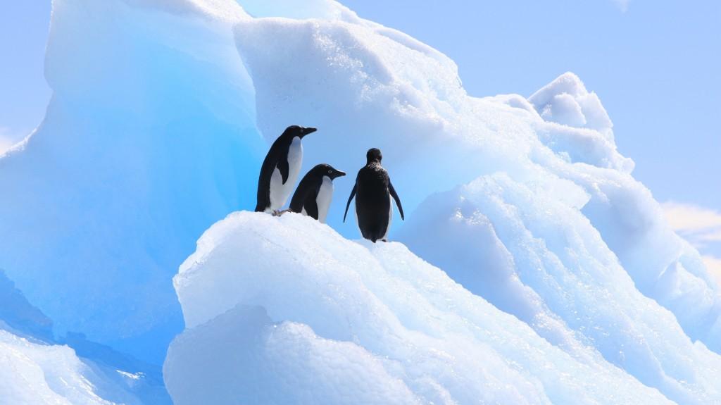 El pingüino adelaida (Pygoscelis adeliae) es una de las dos especies de esta ave no voladora nativas de la Antártida (Shutterstock)