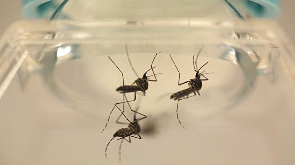 Aedes aegypti, el mosquito que transmite el virus del dengue (Reuters)