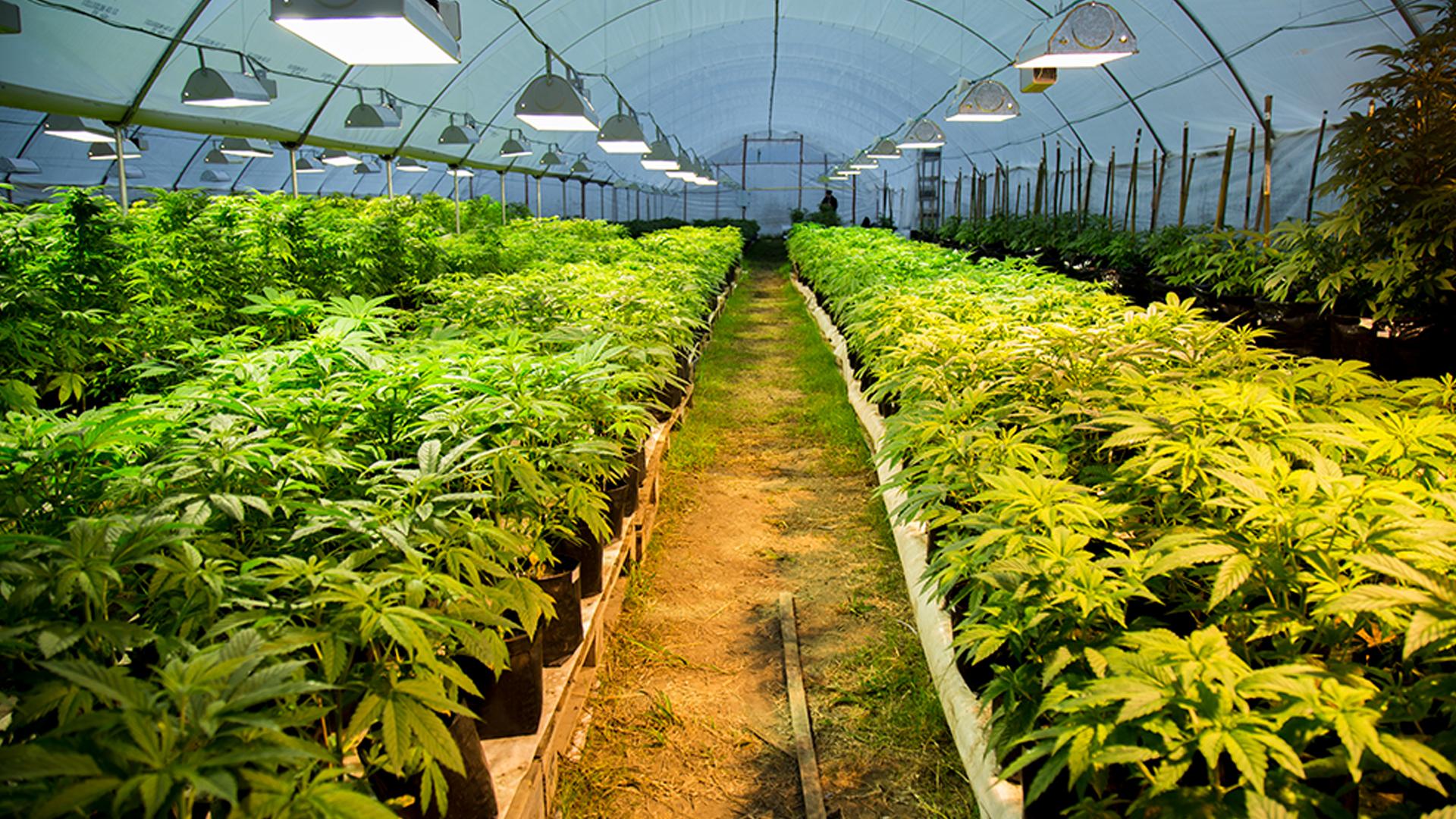 Plantación de marihuana controlada por el Estado de Uruguay (Foto: Ecos)