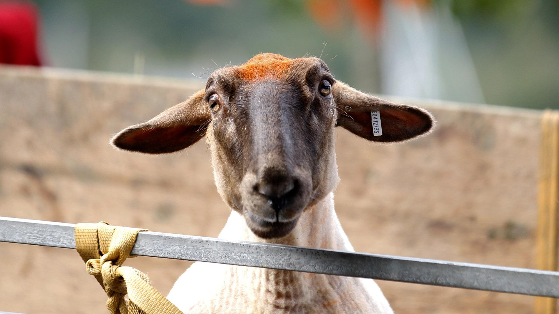Una oveja recién esquilada y con un mechón rojo también participó de la Convención. (Peter Morrison/AP)
