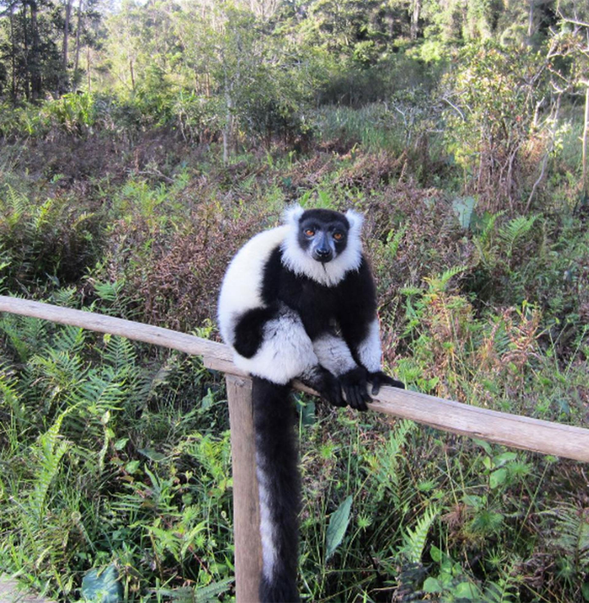 Un visitante exótico mientras recorre Madagascar
