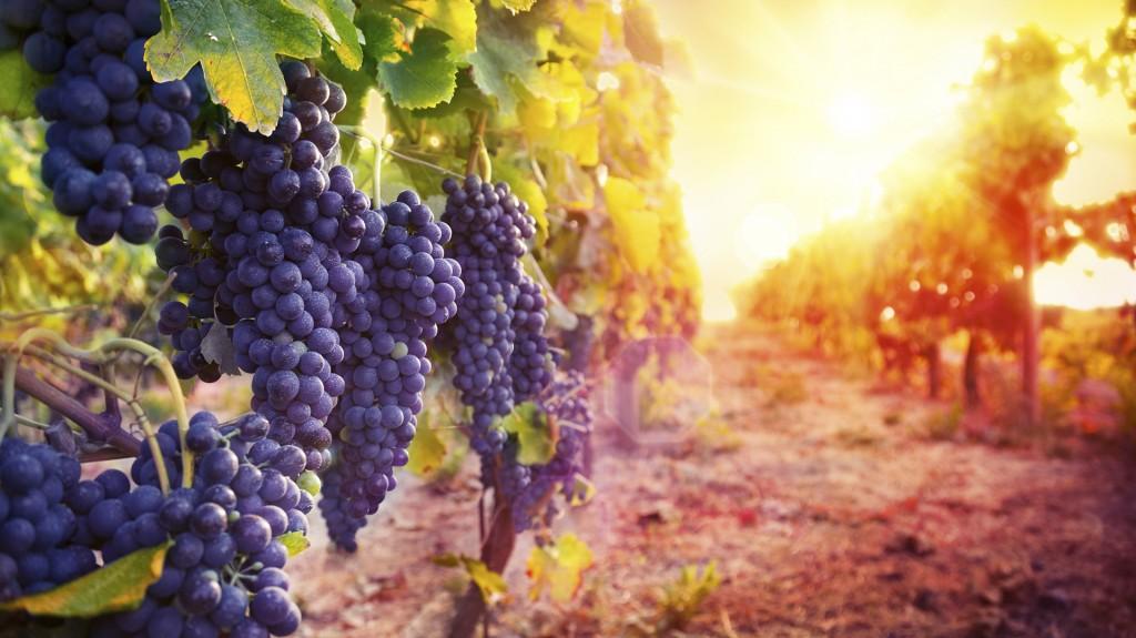 En Argentina, son más de 220 viñedos los que producen este vino (Istock)