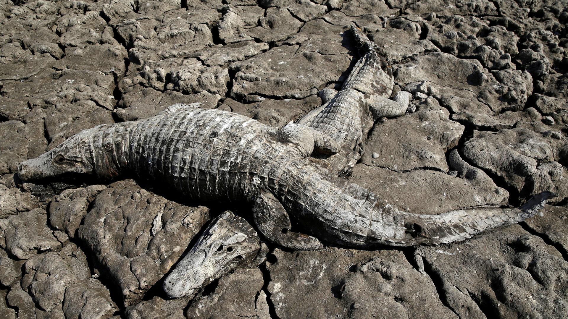 Miles de yacarés mueren sedientos por la peor sequía en 20 años
