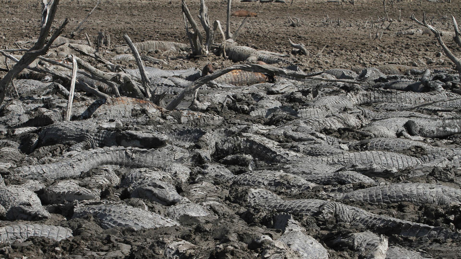 La imagen de los animales atrapados en el barro conmueve a los pobladores que nada pueden hacer ante la falta de agua