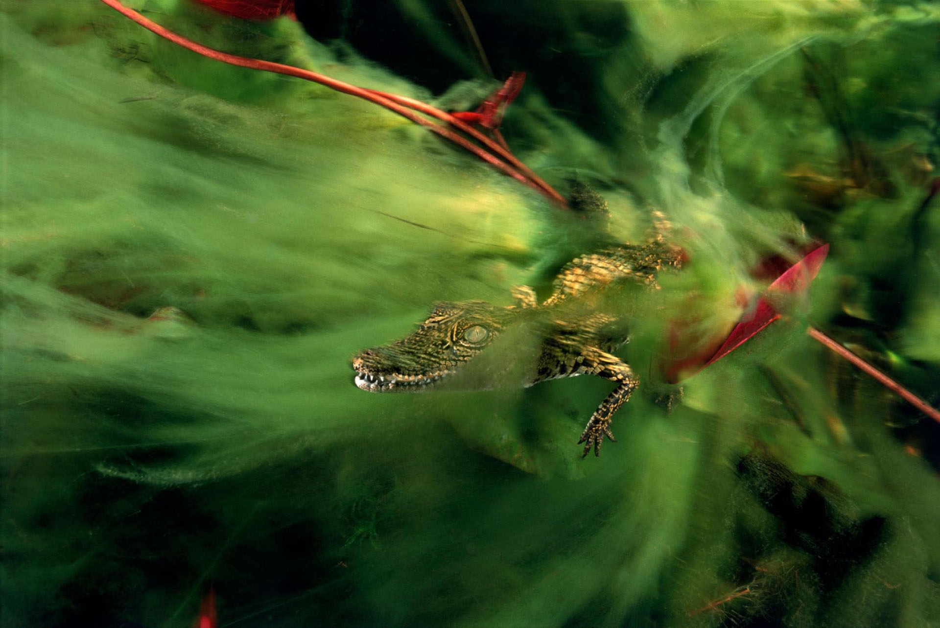 Un bebé cocodrilo del Nilo se esconde en las algas del delta del Okavango