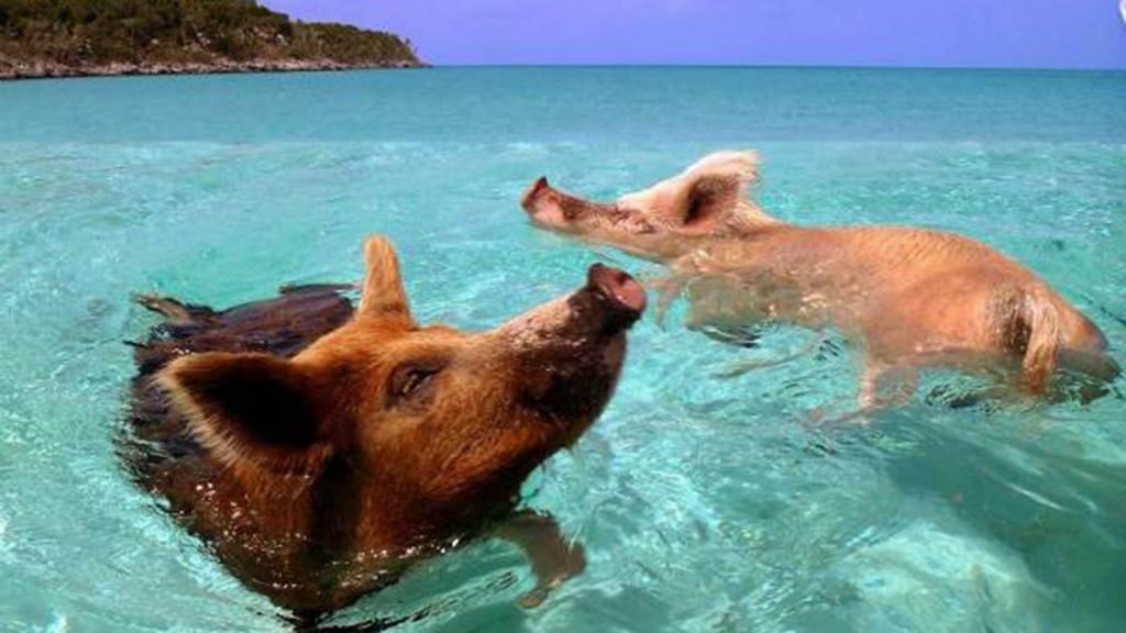 leandro rud mix 5411 nadando con cerdos (1)