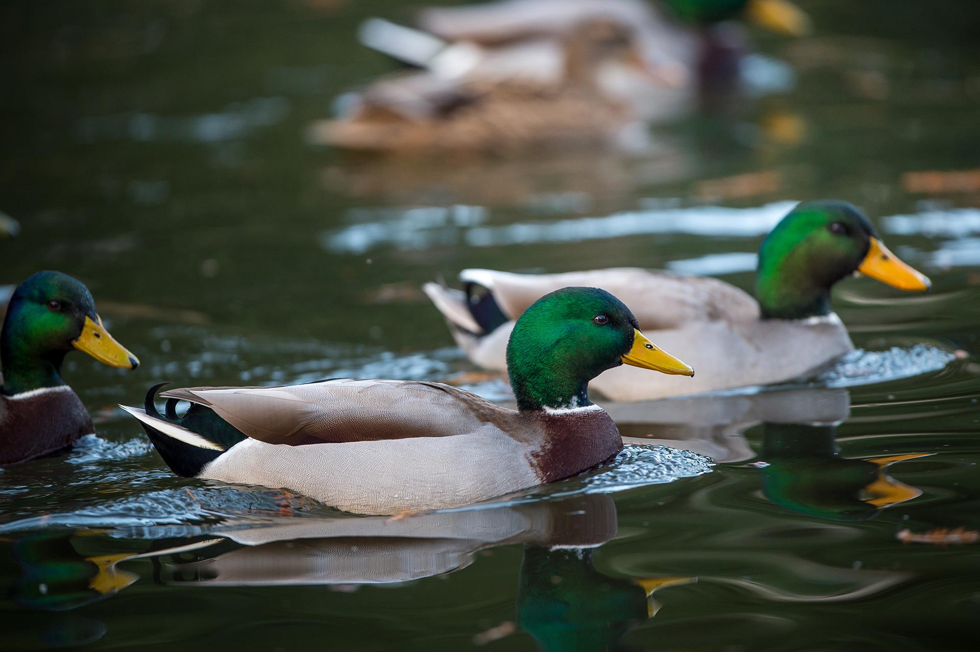 Dos patos machos nadan en Vouvray, Francia