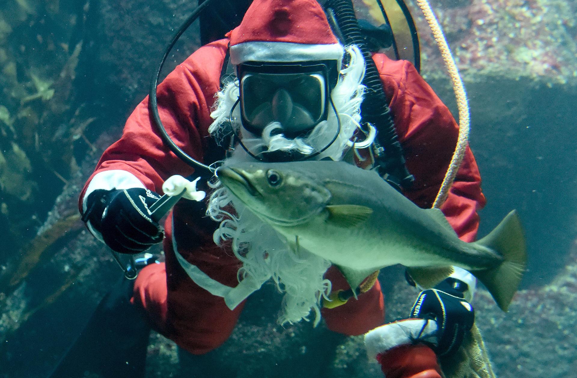 Un buzo en un traje de Papá Noel alimenta un pez en el acuario de Wattforum del Multimar en Toenning, Alemania
