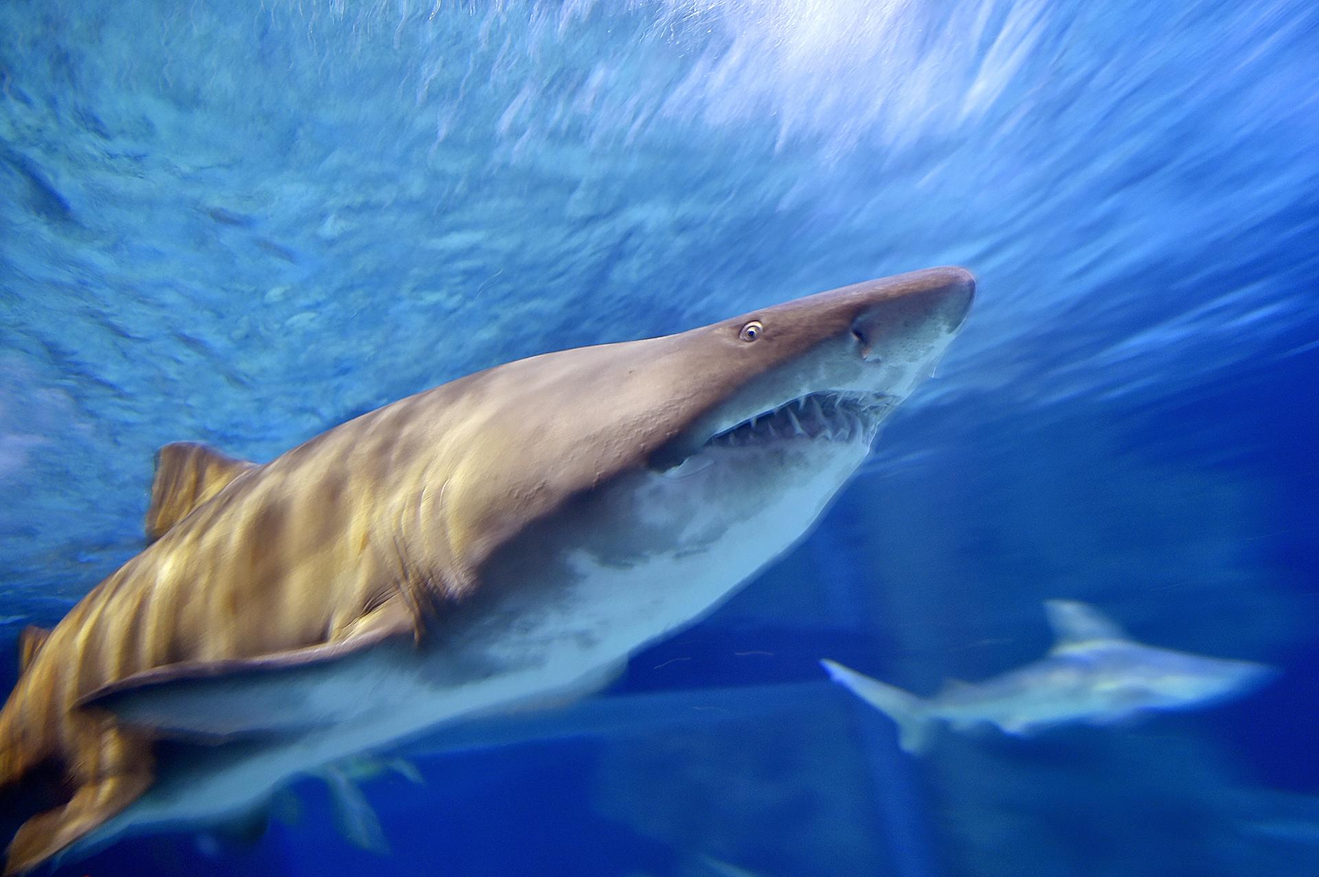 Un tiburón toro nada en el Oceanarium en Le Croisic, Francia