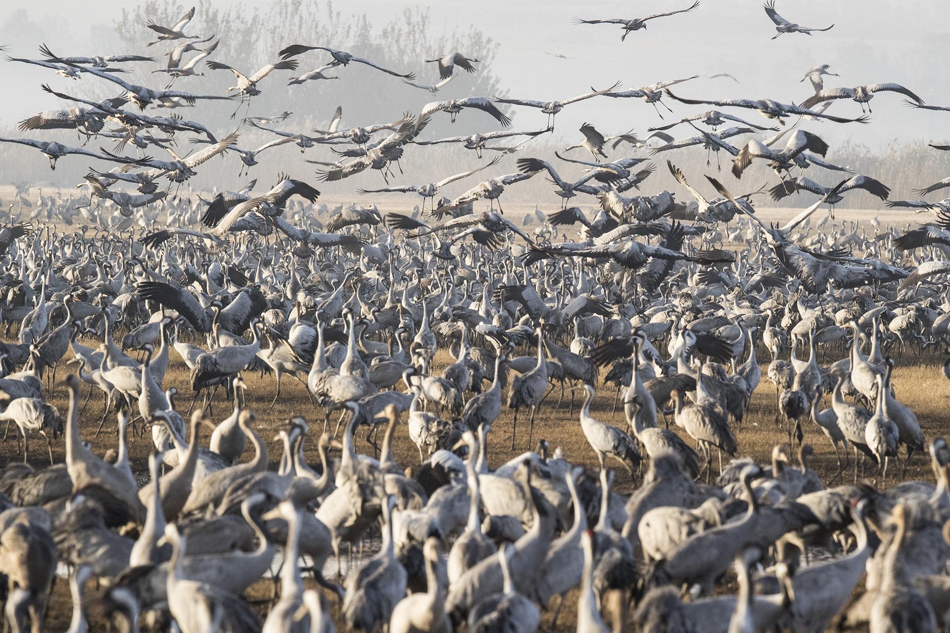Más de medio billón de aves de unas 400 especies diferentes pasan por el valle del Jordán hacia África y vuelven a Europa durante el año. Alrededor de 42.500 grullas grises permanecieron este invierno en el lago Agamon Hula en lugar de migrar a África, aprovechando la seguridad de esta fuente de agua artificial
