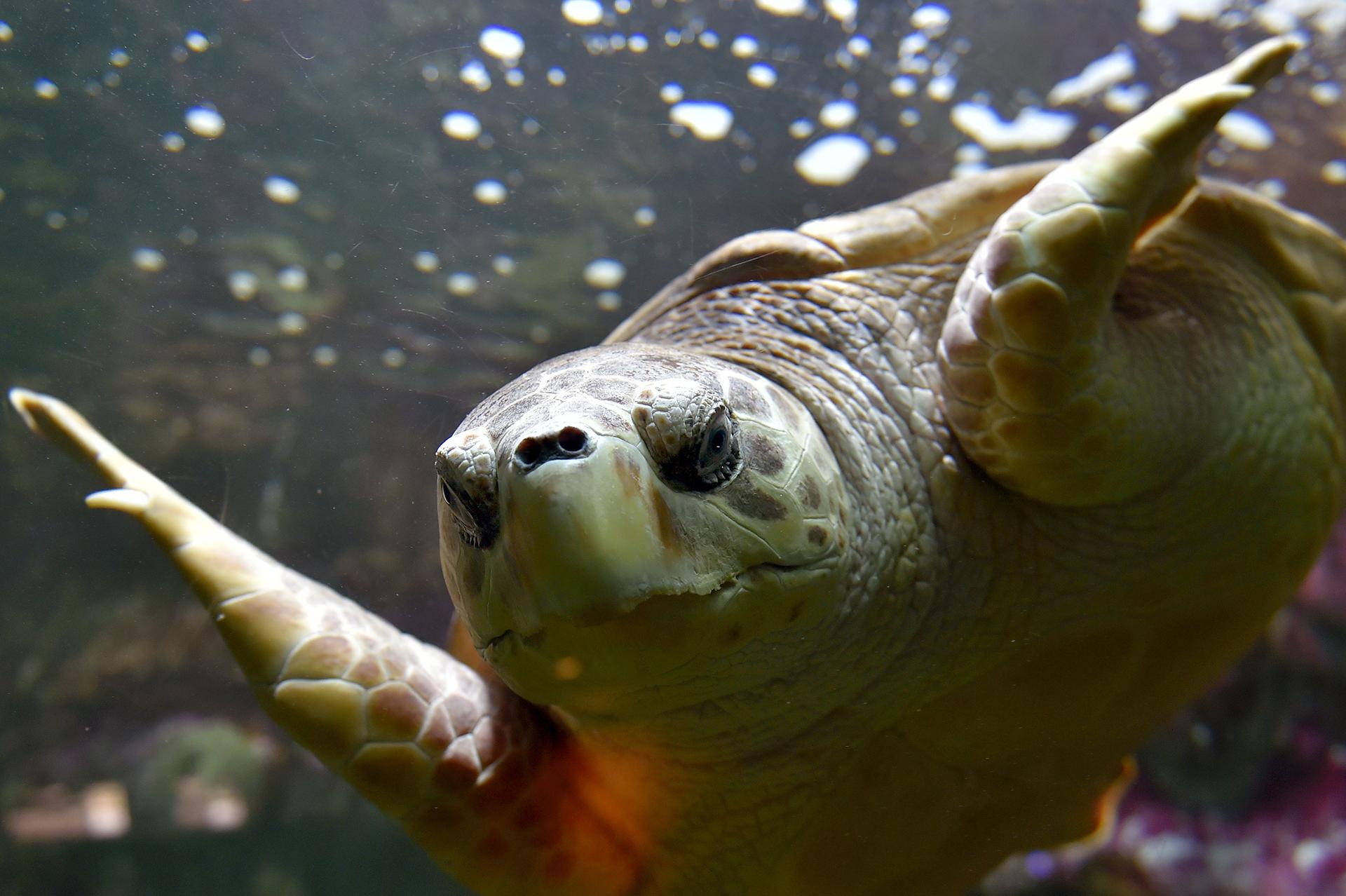 Una tortuga de mar nada en el Oceanarium en Le Croisic, Francia