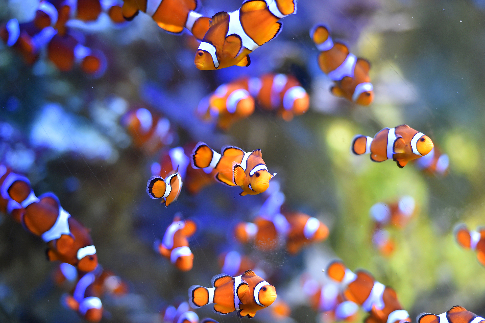 Coloiridos peces nadan en el Ocearium en Le Croisic, Francia