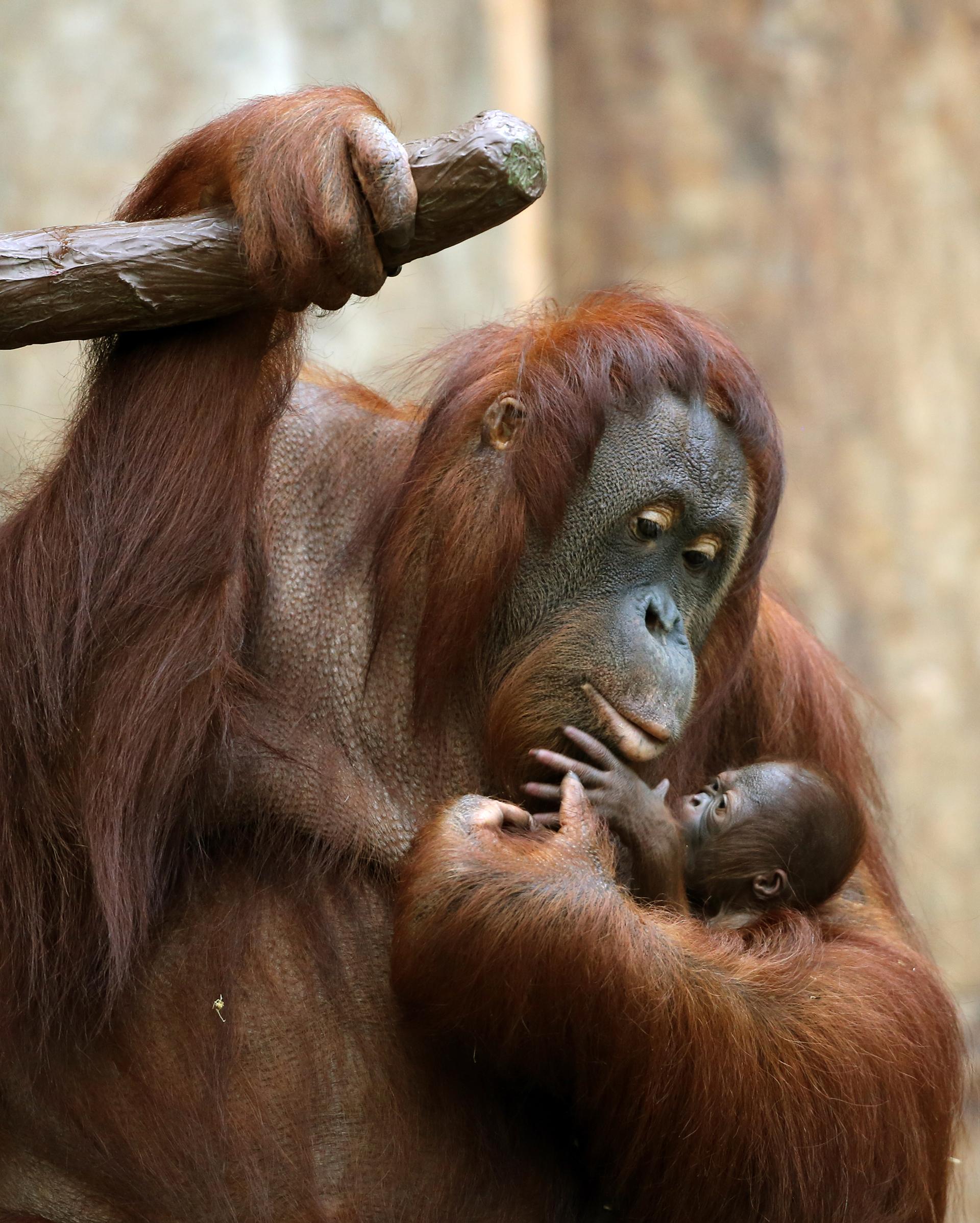 Una orangután de tres días de edad se aferra a su madre en el zoológico de Krefeld, Alemania