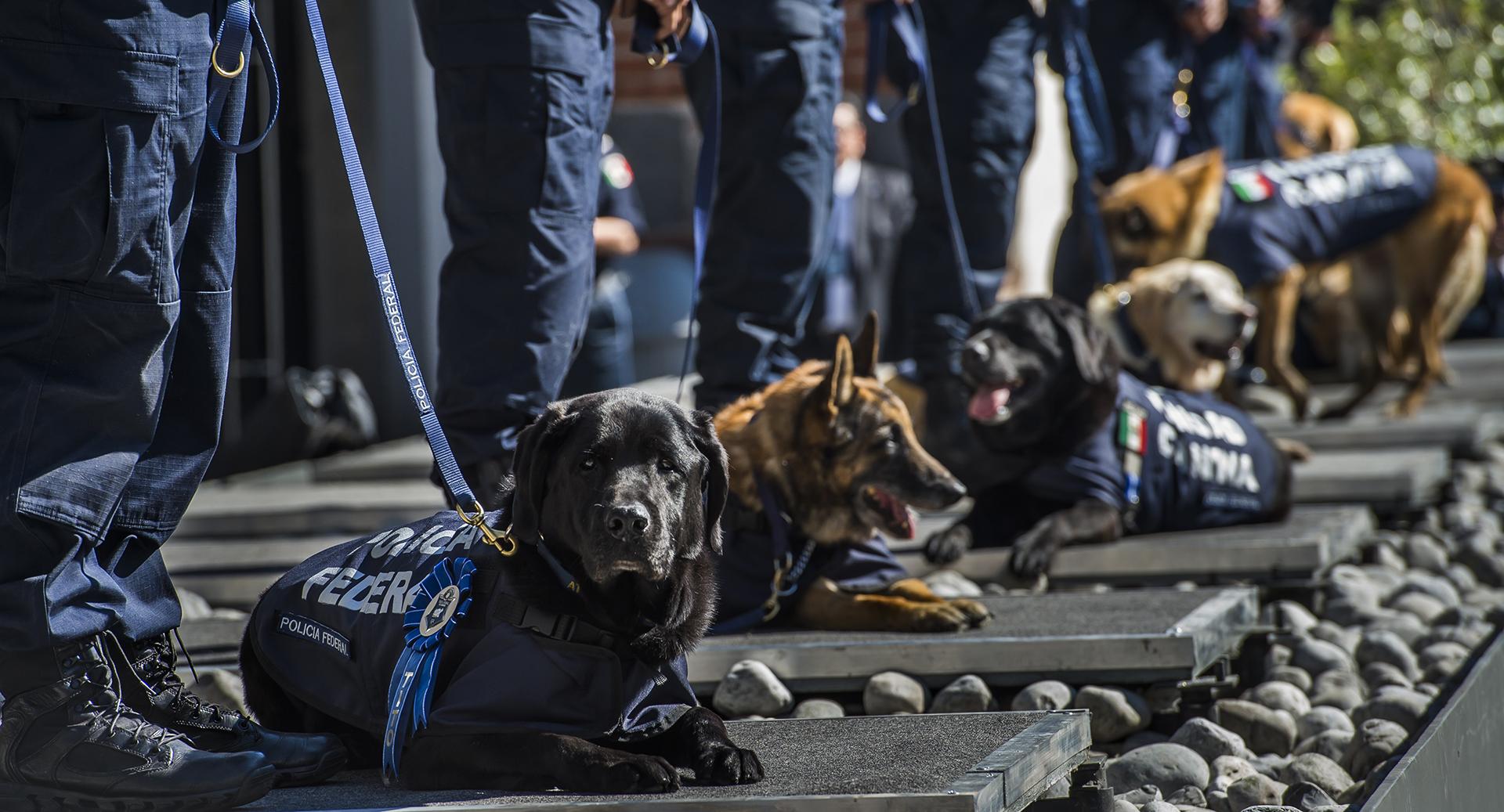 Tito y otros cinco perros policiales se encuentran a los pies de sus entrenadores, oficiales de la policía mexicana, durante una ceremonia del 7 de diciembre de 2016 en la Ciudad de México, donde nueve perros de policía fueron retirados después de ocho años de servicio