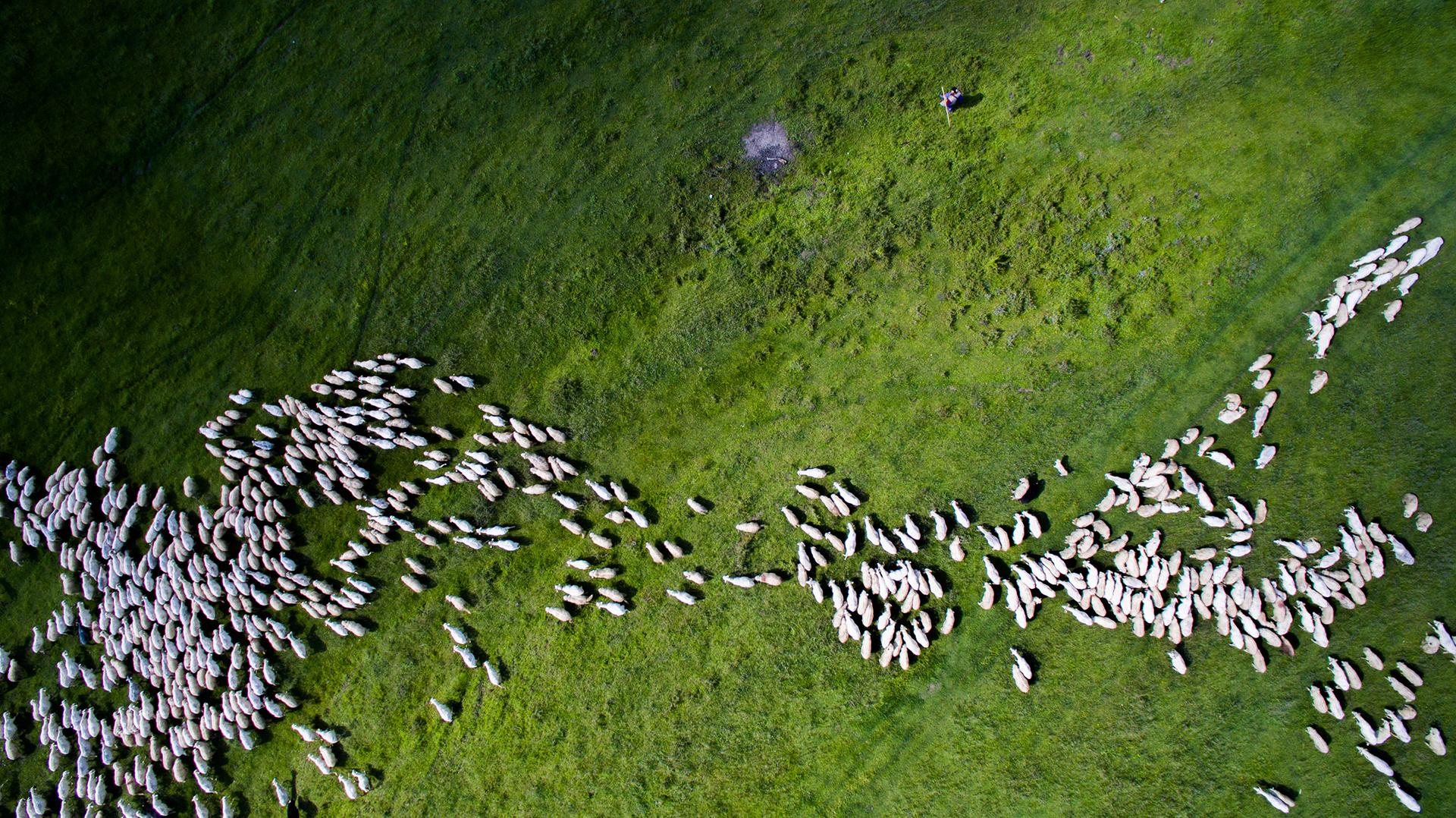 Una manada de ovejas en Rumaniaterminó en segundo lugar en la categoría Naturaleza y vida salvaje (Szabolcs Ignacz)