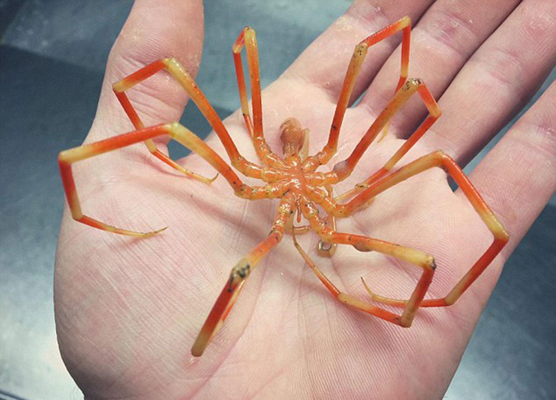 """Un picnogónido o """"araña de mar"""" fue otra de las capturas del pescador ruso."""