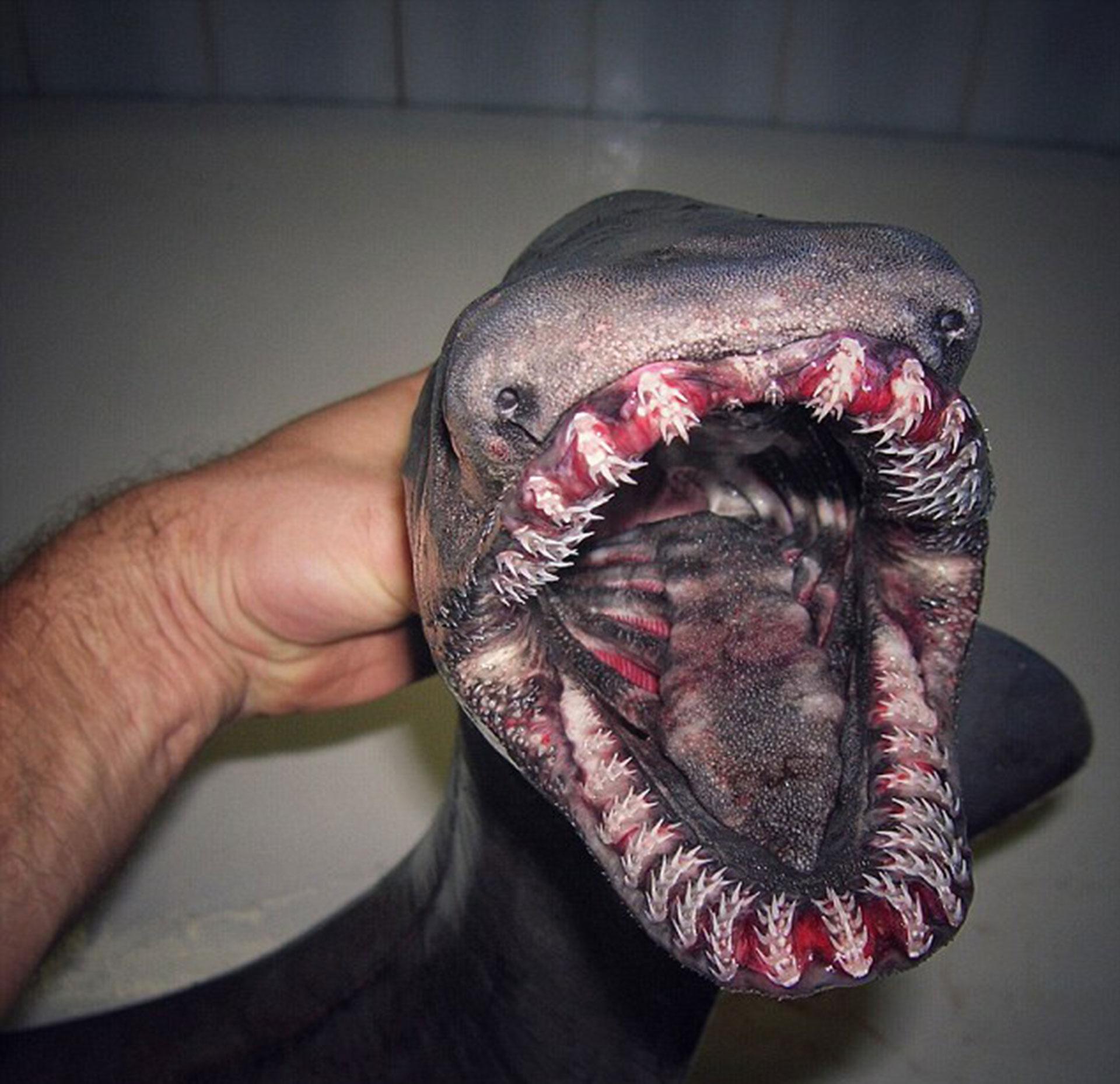 """El """"tiburón anguila"""" o """"tiburón de gorguera"""" es una extraña especie a la que se conoce como un """"fósil viviente"""". Puede devorar peces enormes a los que retiene con su filosa dentadura."""
