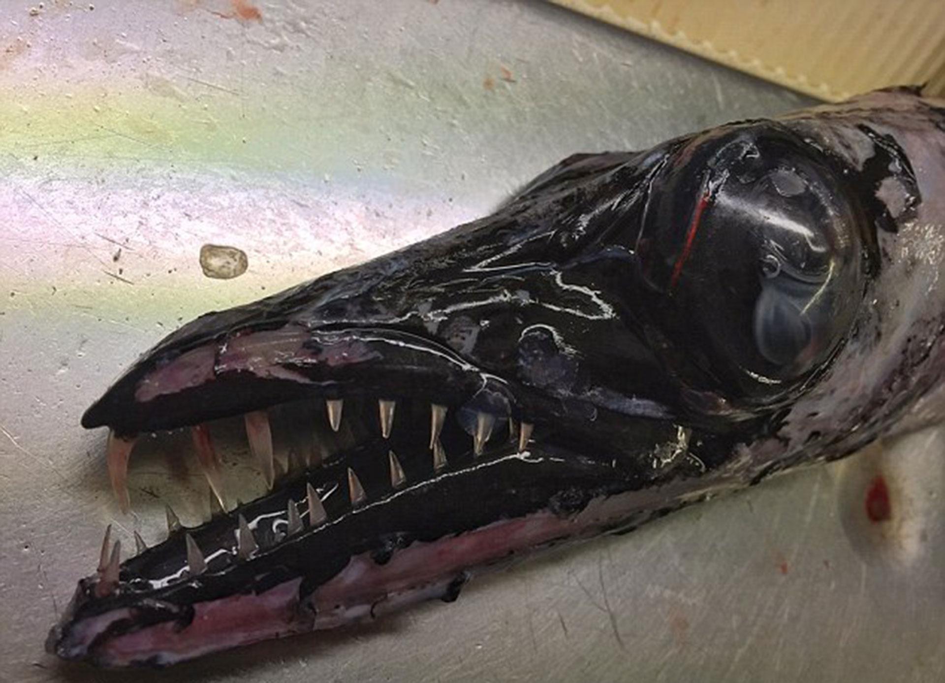 El sable negro es otro increíble pez que vive entre los 200 y 170 metros de profundidad en el Mar del Norte.