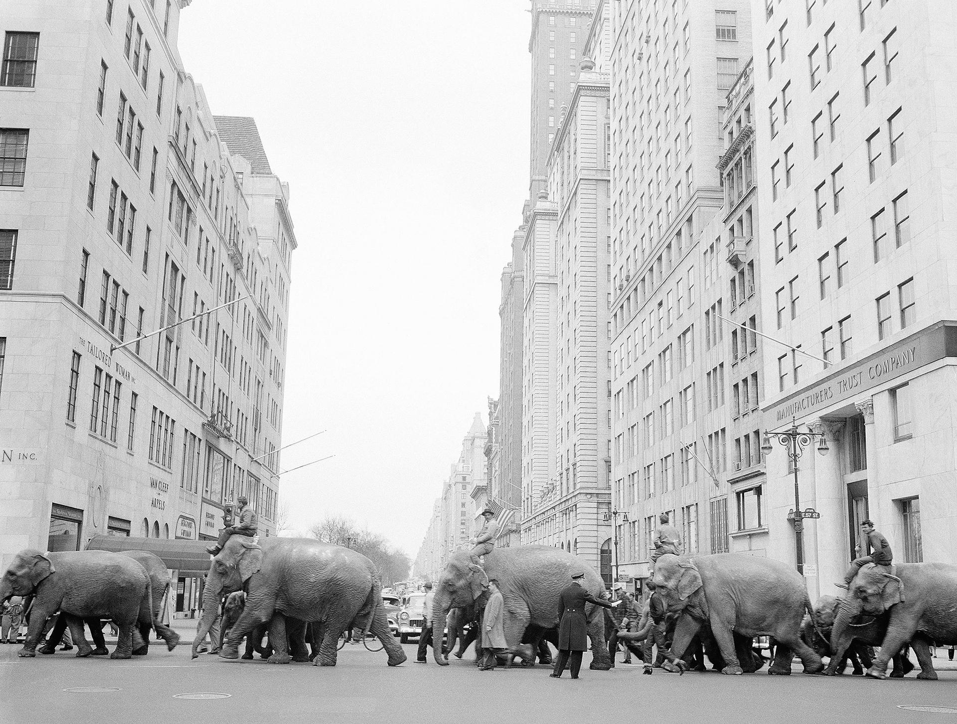 Un desfile de elefantes anuncia la llegada del Ringling Bros. and Barnum & Bailey a Nueva York en 1955(AP)