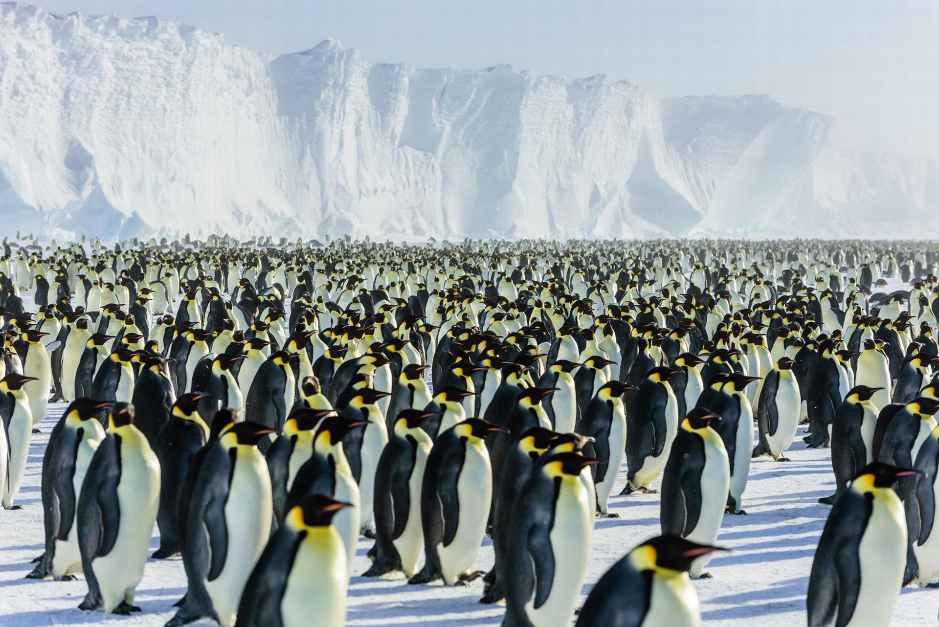 Una experiencia única: estar rodeado por pingüinos emperadores sin que ninguno se perturbe