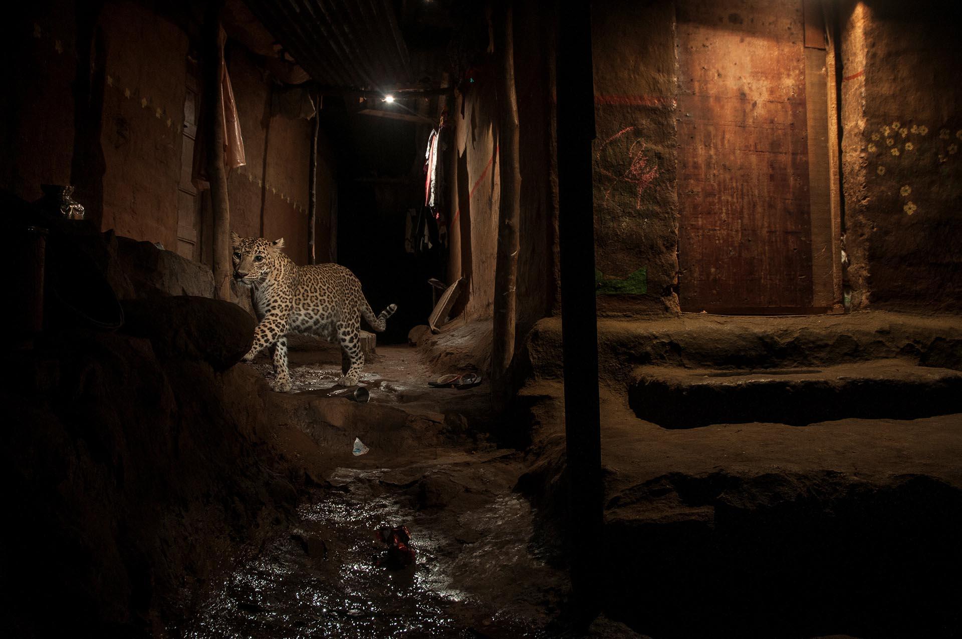 Naturaleza, segundo premio. Un leopardo salvaje en el Parque Nacional Sanjay Gandhi, en Bombai. Nayan Khanolkar, REUTERS
