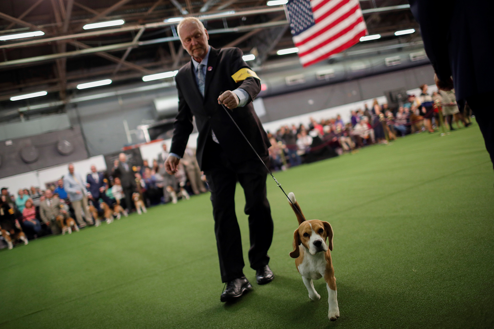 Un Beagle en plena competencia