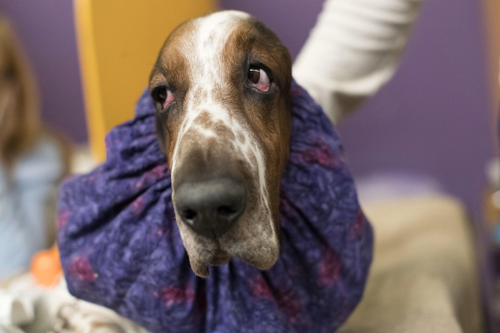 """Un Basset hound, también llamado """"Batata"""" espera su turno para competir"""