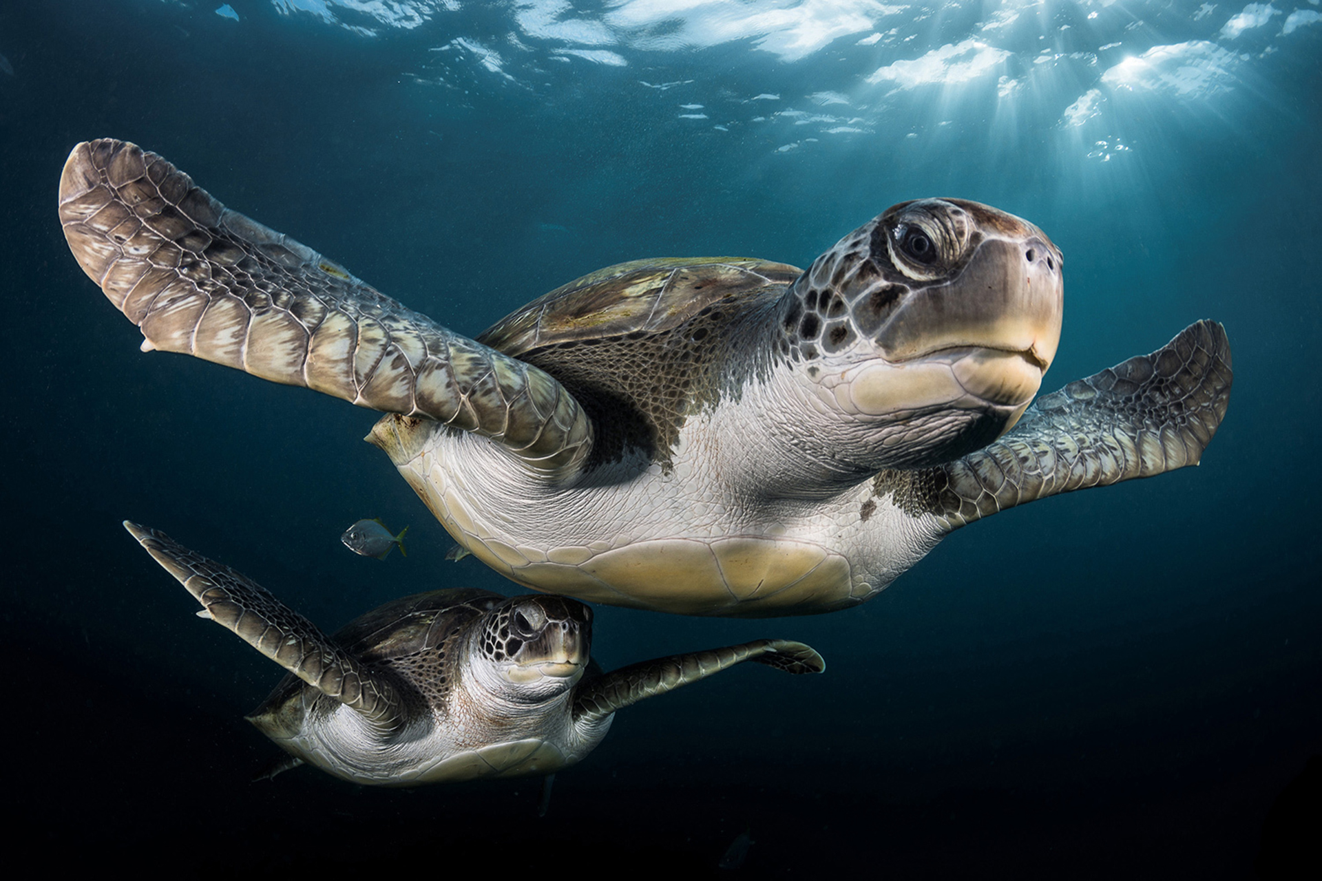 Durante un viaje de buceo en Tenerife, Greg Lecoeur de encontró con estas tortugas verdes