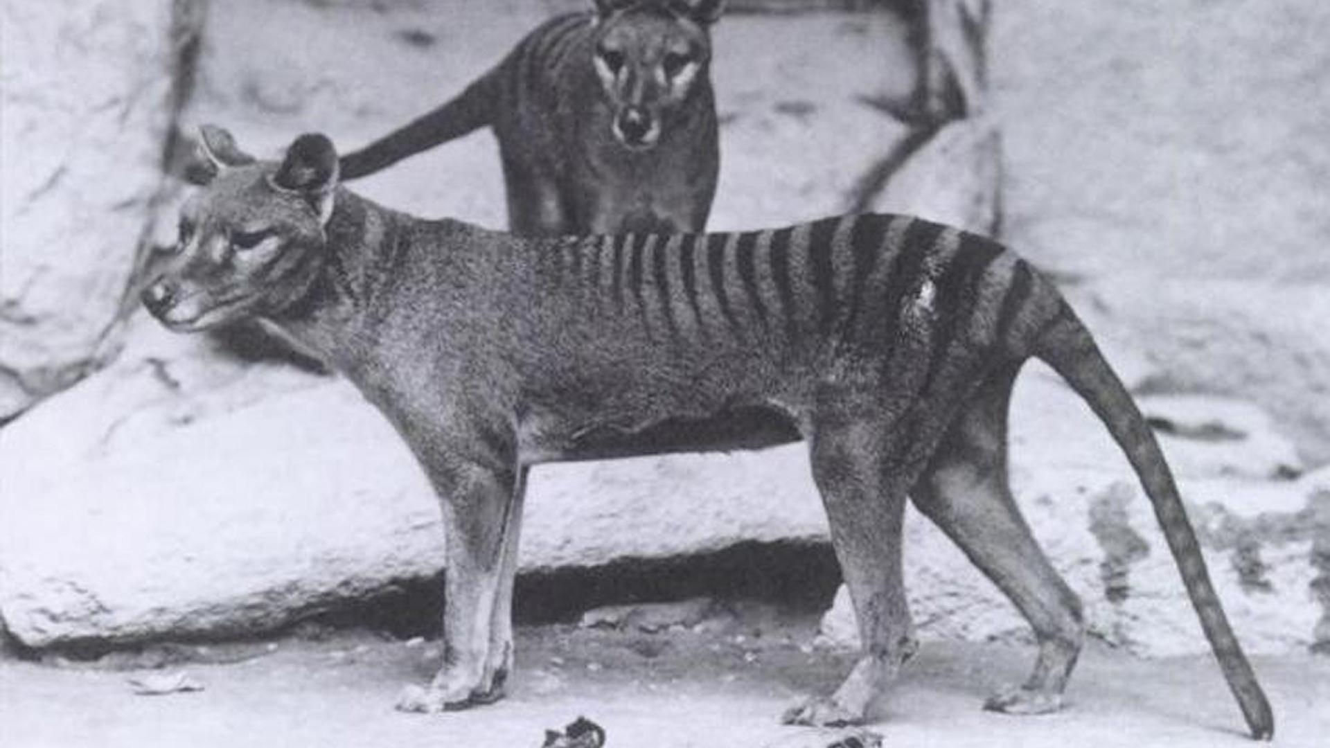 El tigre de Tasmania, lobo marsupial o tilacino (Thylacinus cynocephalus) es una de las especies extintas más emblemáticas