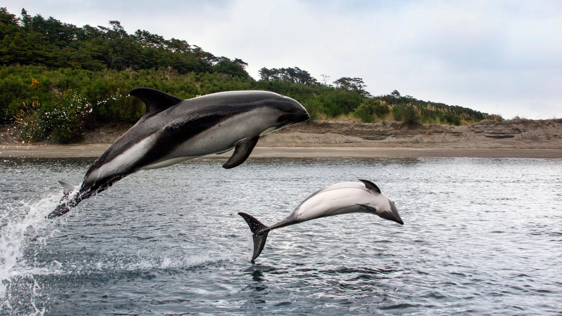 Los delfines suelen andar en manadas, pero el caso de Zafar es diferente