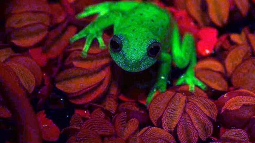 Encontraron la primera rana fluorescente del mundo