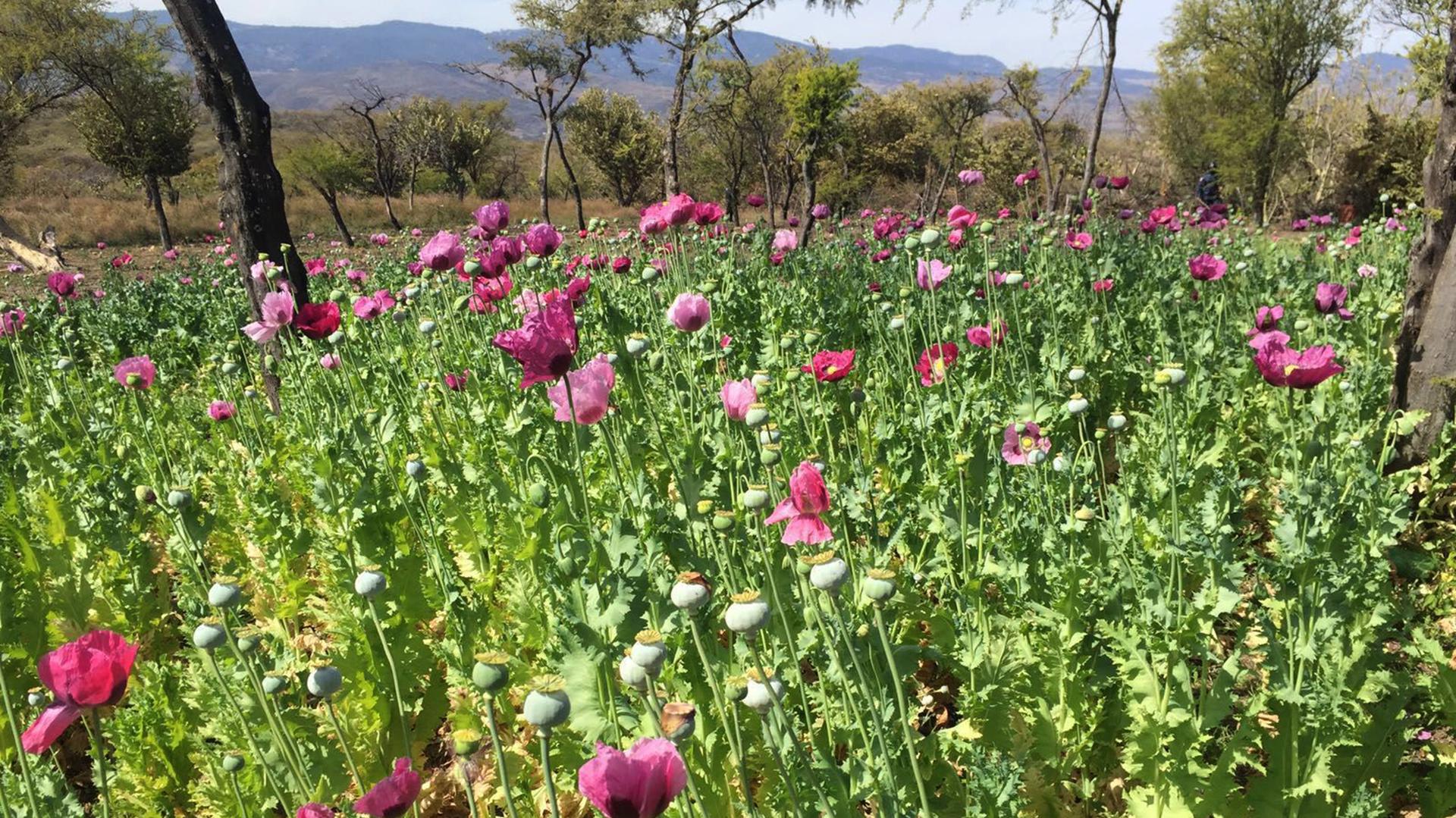 La ONU reportó la expansión de los cultivos de amapola en México. (Foto: Archivo Infobae)