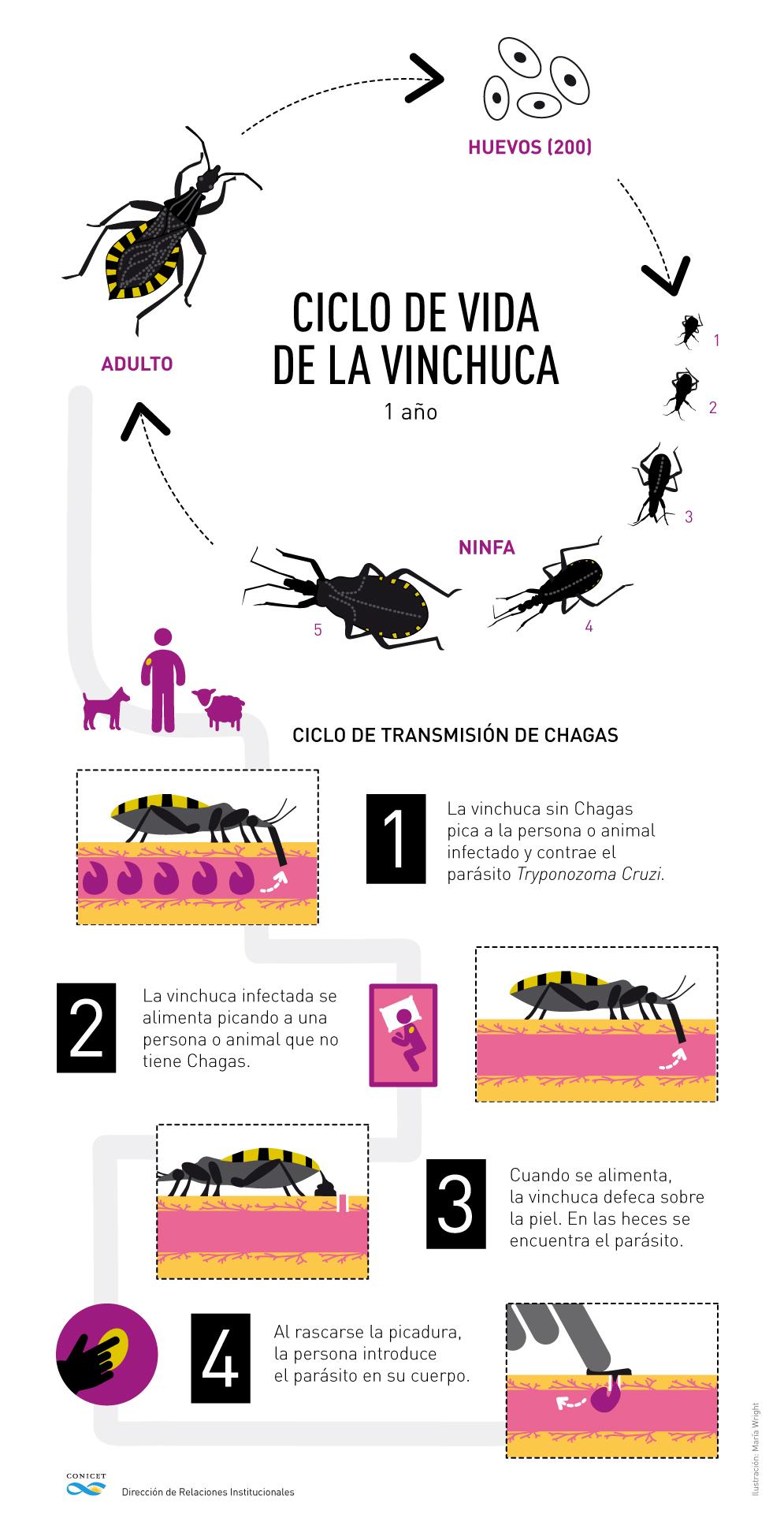 El ciclo del mal de Chagas