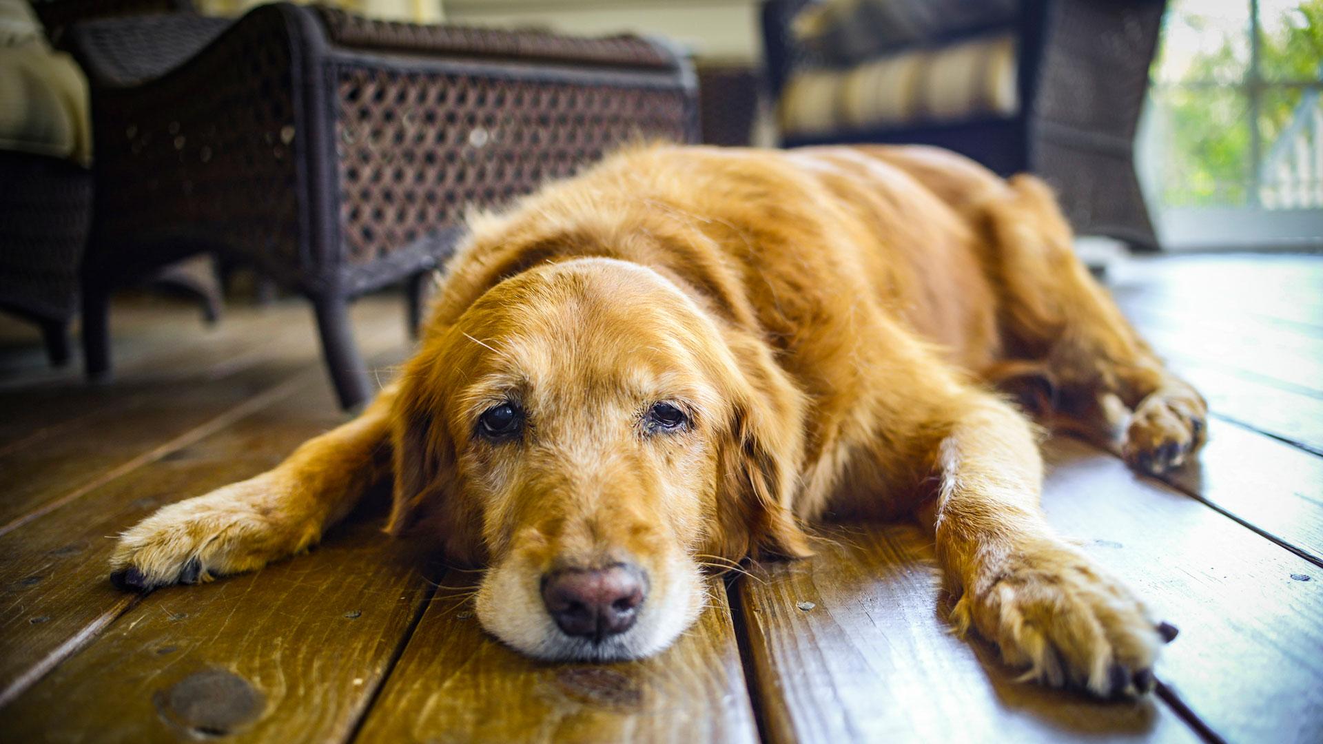 """Los perros pueden llegar a sufrir de """"ansiedad por separación"""" o bien depresión, cuando sus amos se alejan del hogar por un largo tiempo (iStock)"""