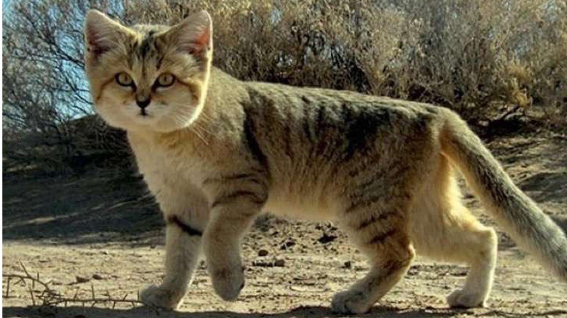 Todos los intentos de domesticar a este gato terminaron en desastres (National Geographic )