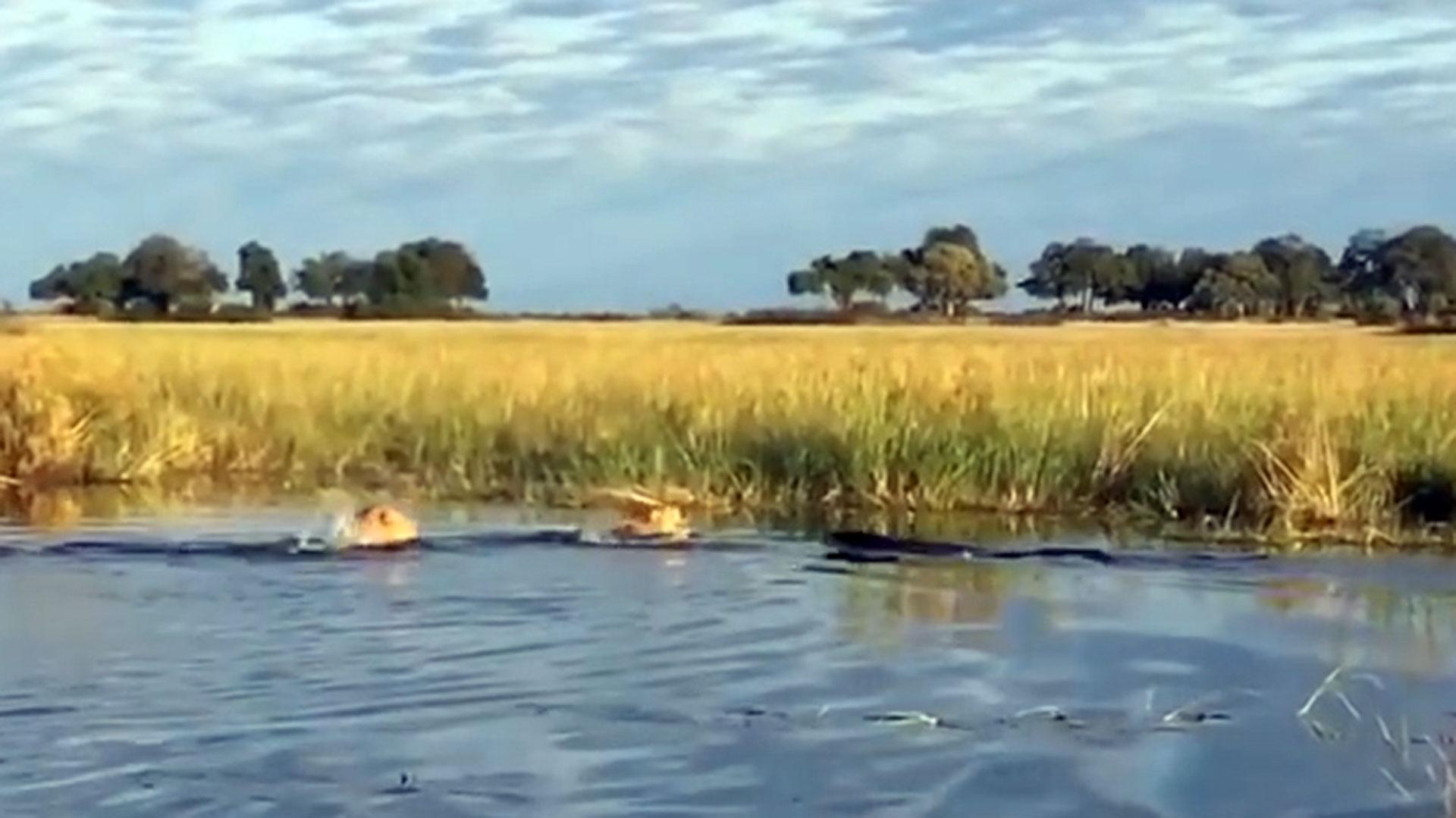 El cocodrilo ataque al menor de los leones, que encabezaba la corta hilera (YouTube)