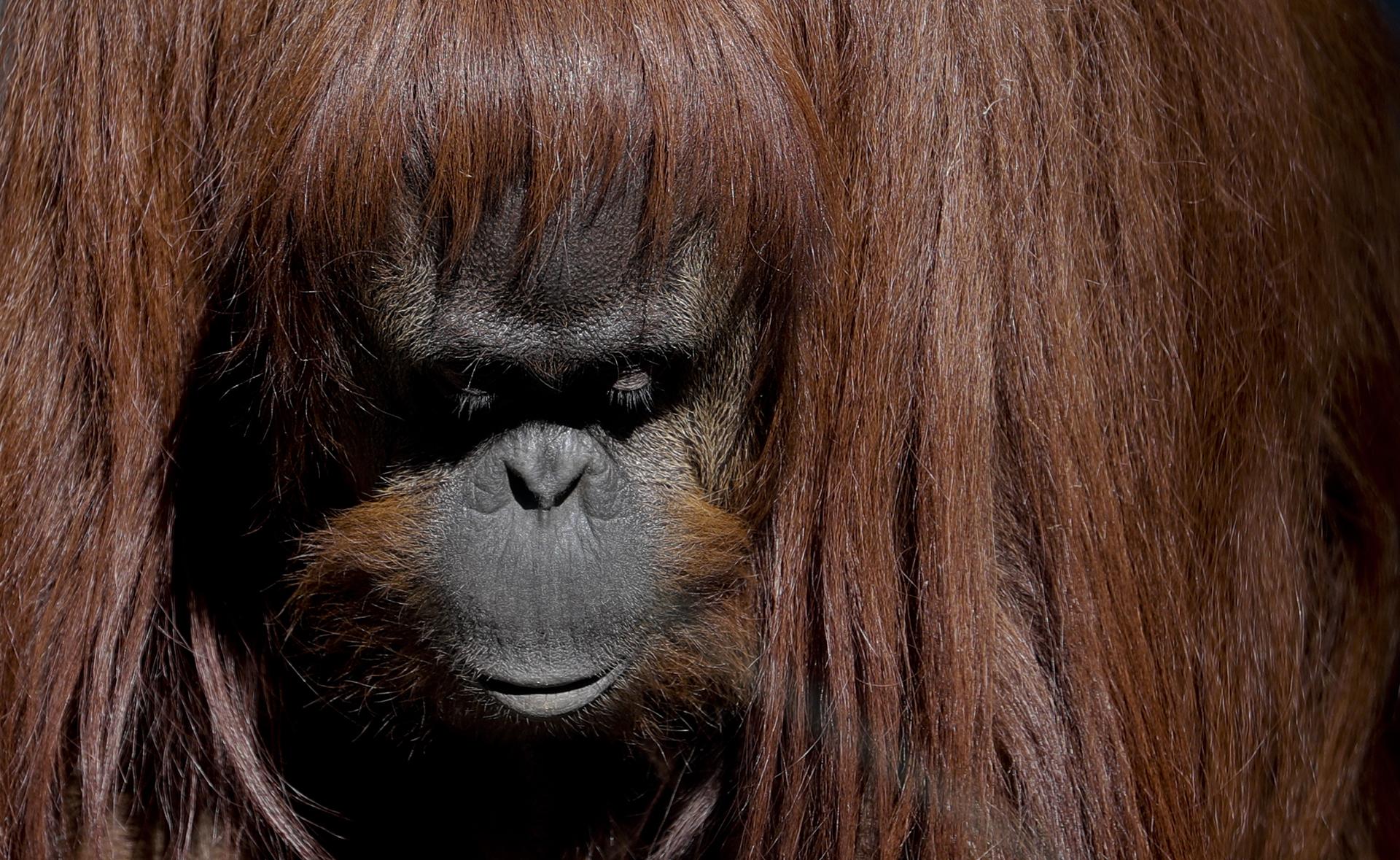 Sandra, el orangutándel antiguo zoológico de la ciudad.Sandra se dio a conocer en todo el mundo, cuando un tribunal argentino emitió un fallo histórico en 2014 en el que la dotaba de algunosderechos legales que gozan los seres humanos.Ella ya no está en exhibición para los visitantes curiosos.